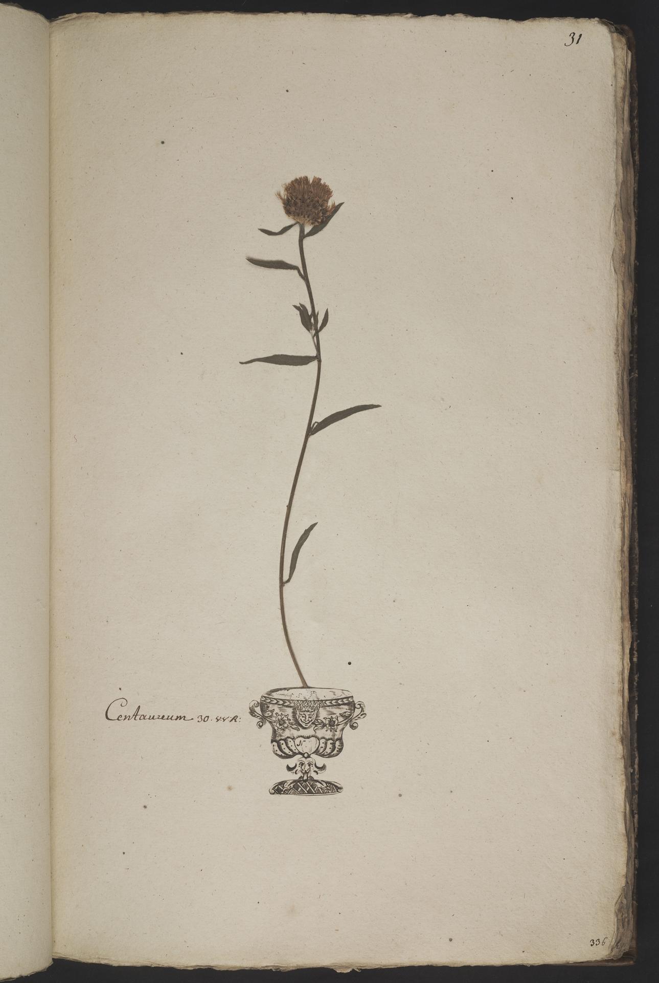 L.3961023 | Centaurea nigra L.