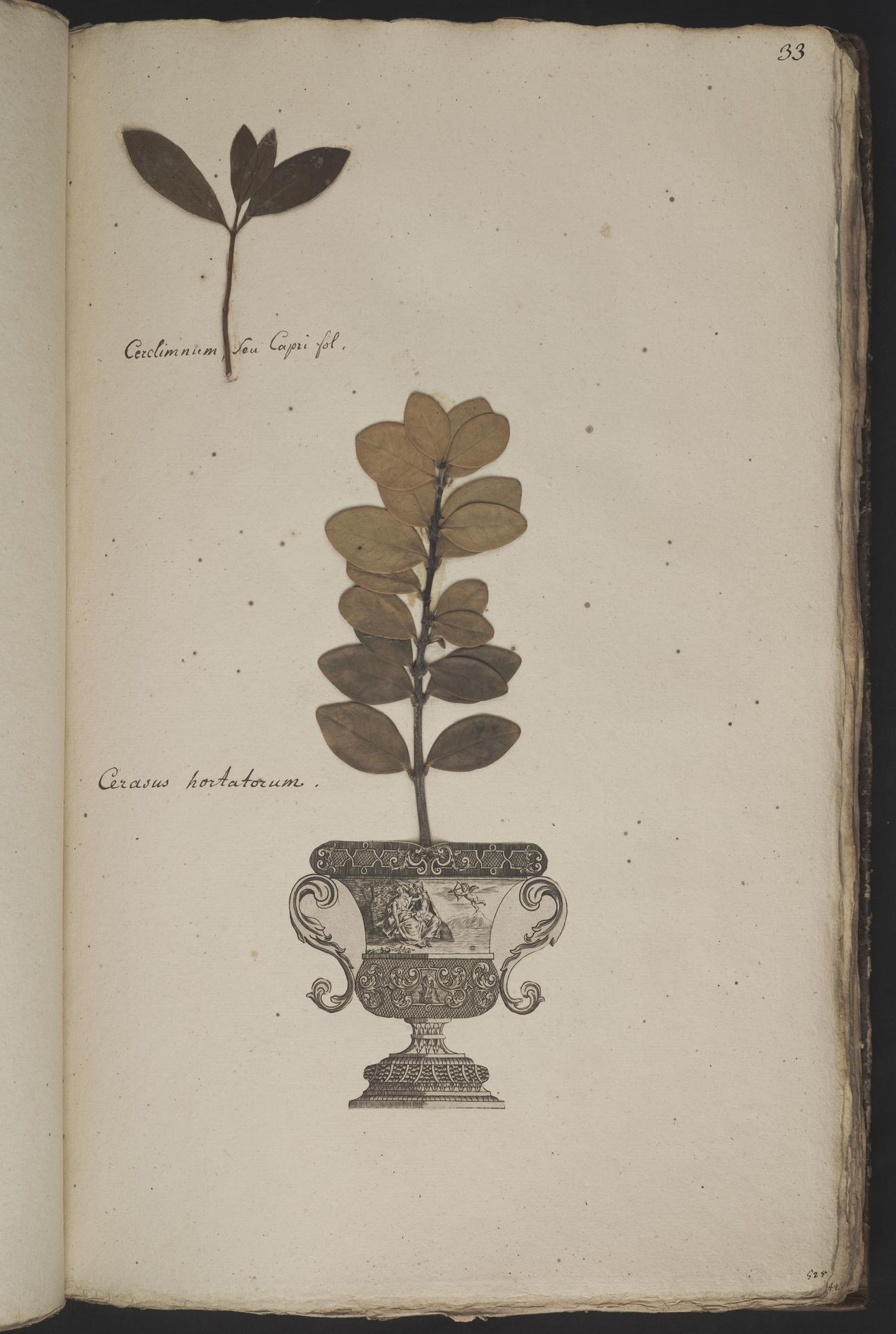 L.3961026 | Cassine maurocenia L.