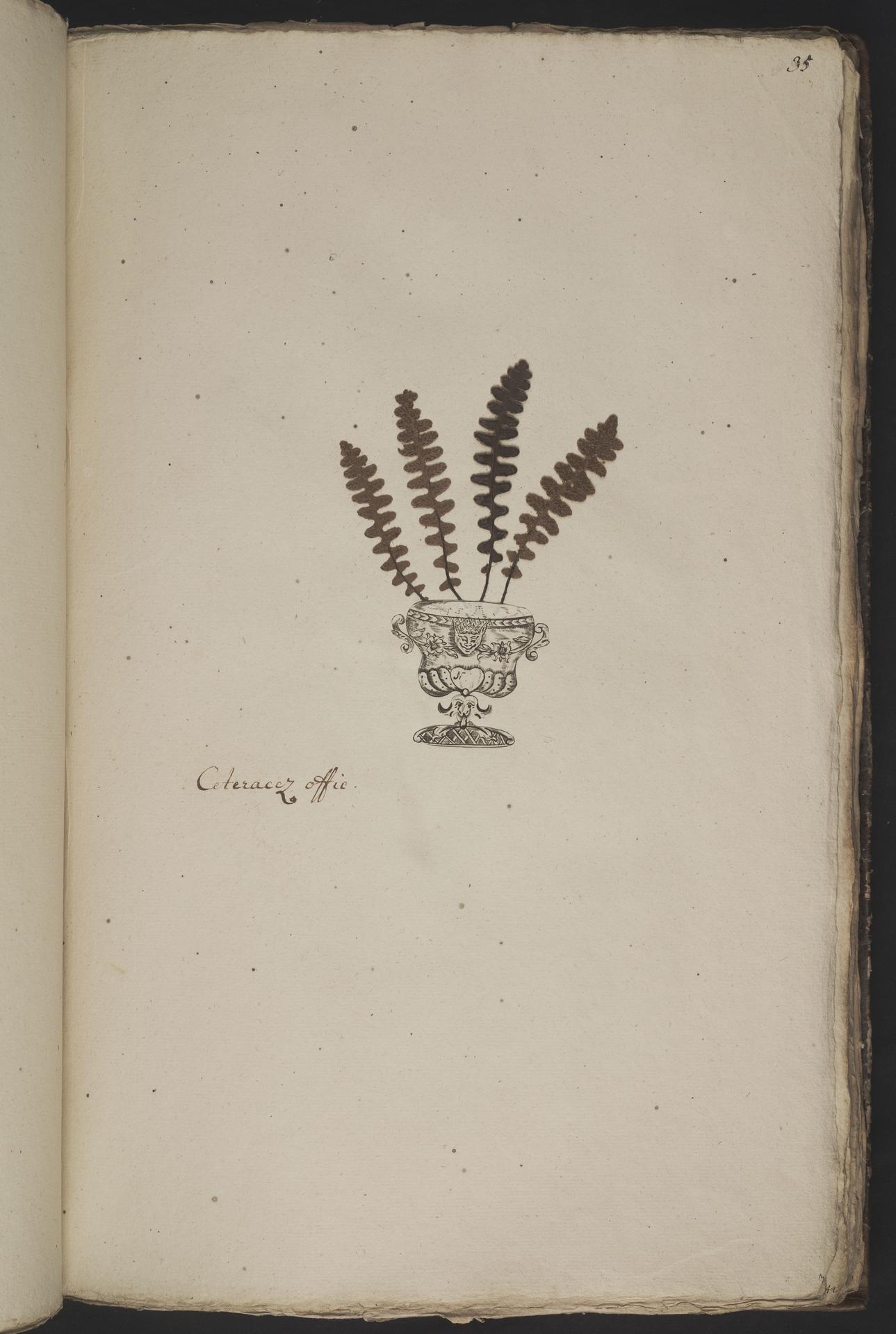 L.3961028 | Ceterach officinarum Willd.