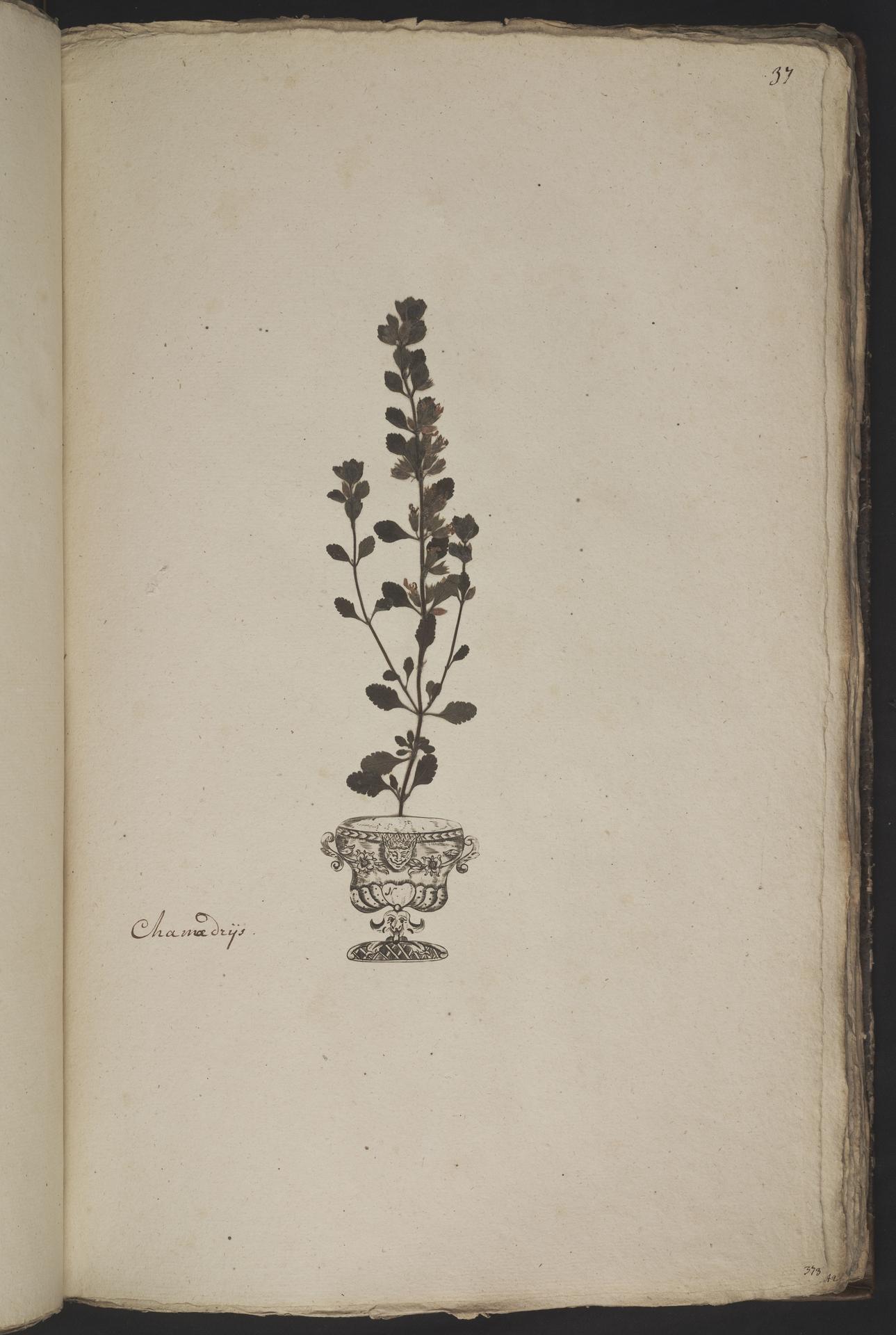 L.3961030 | Teucrium chamaedrys L.
