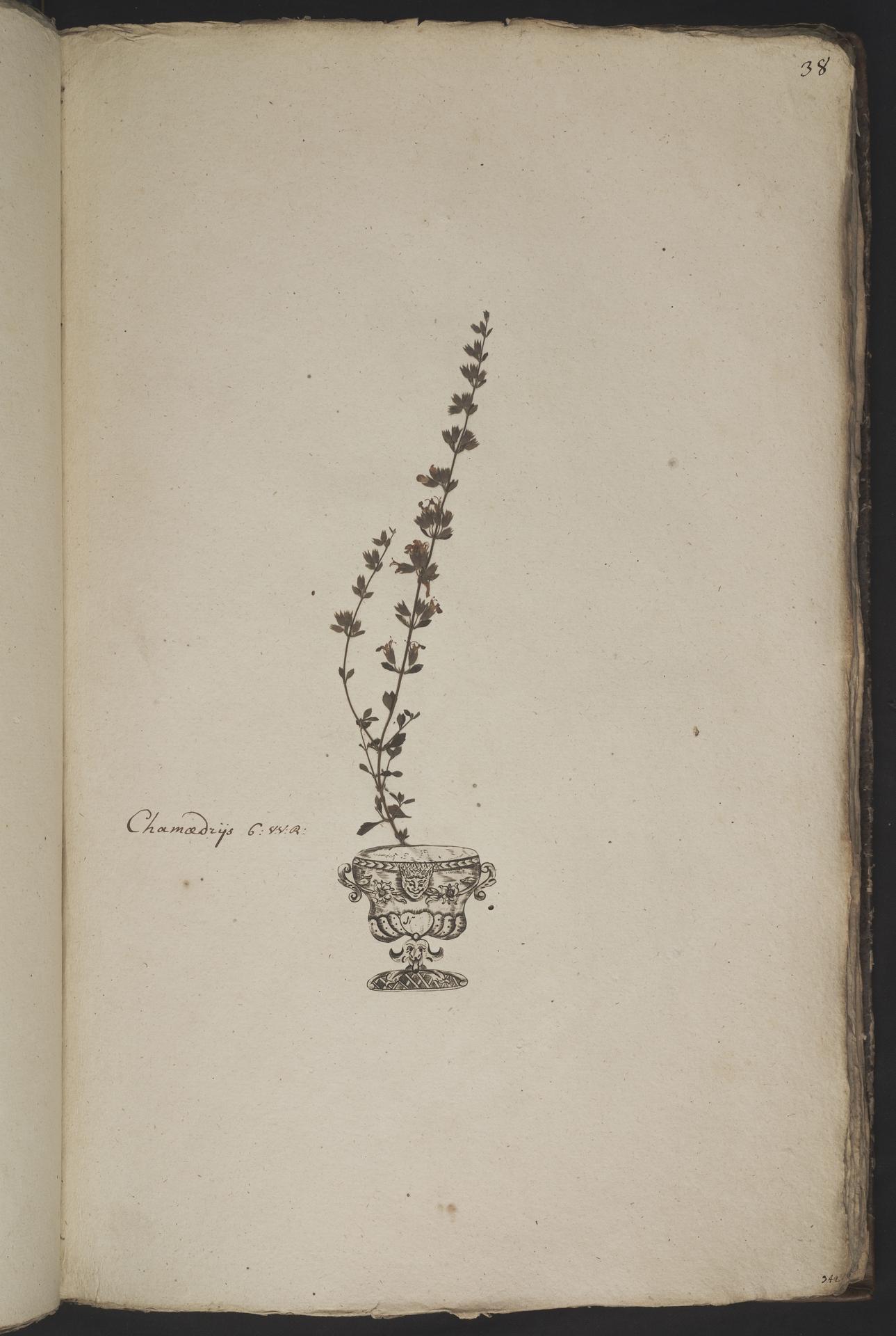 L.3961031 | Teucrium lucidum L.