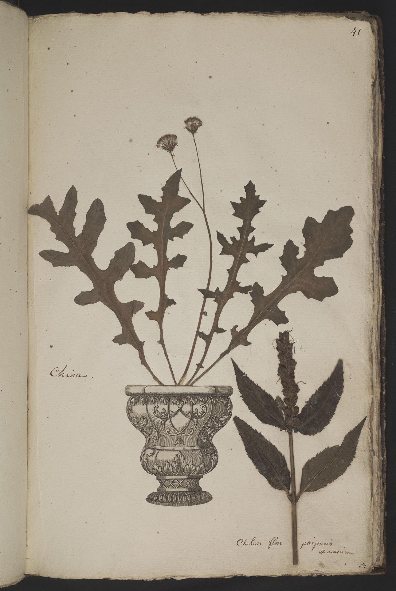 L.3961036 | Chelone obliqua L.