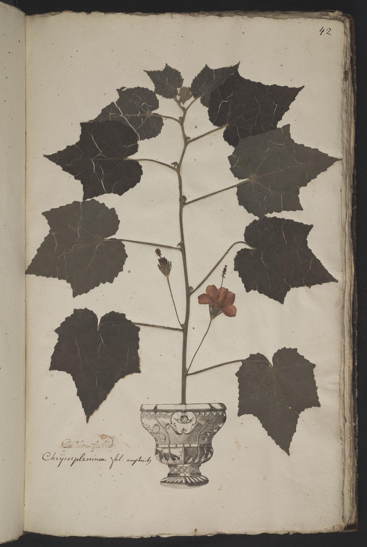 L.3961037 | Malvaviscus arboreus Cav.