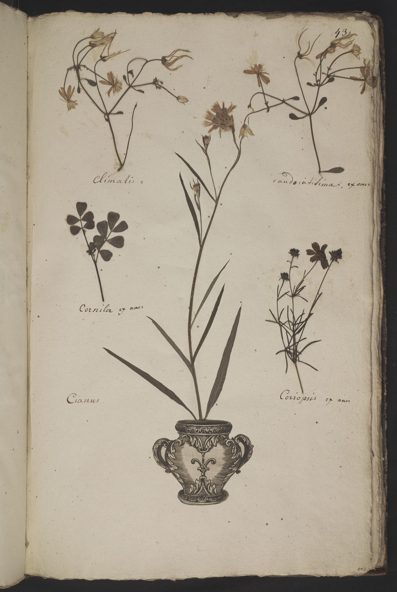 L.3961041 | Coreopsis verticillata L.