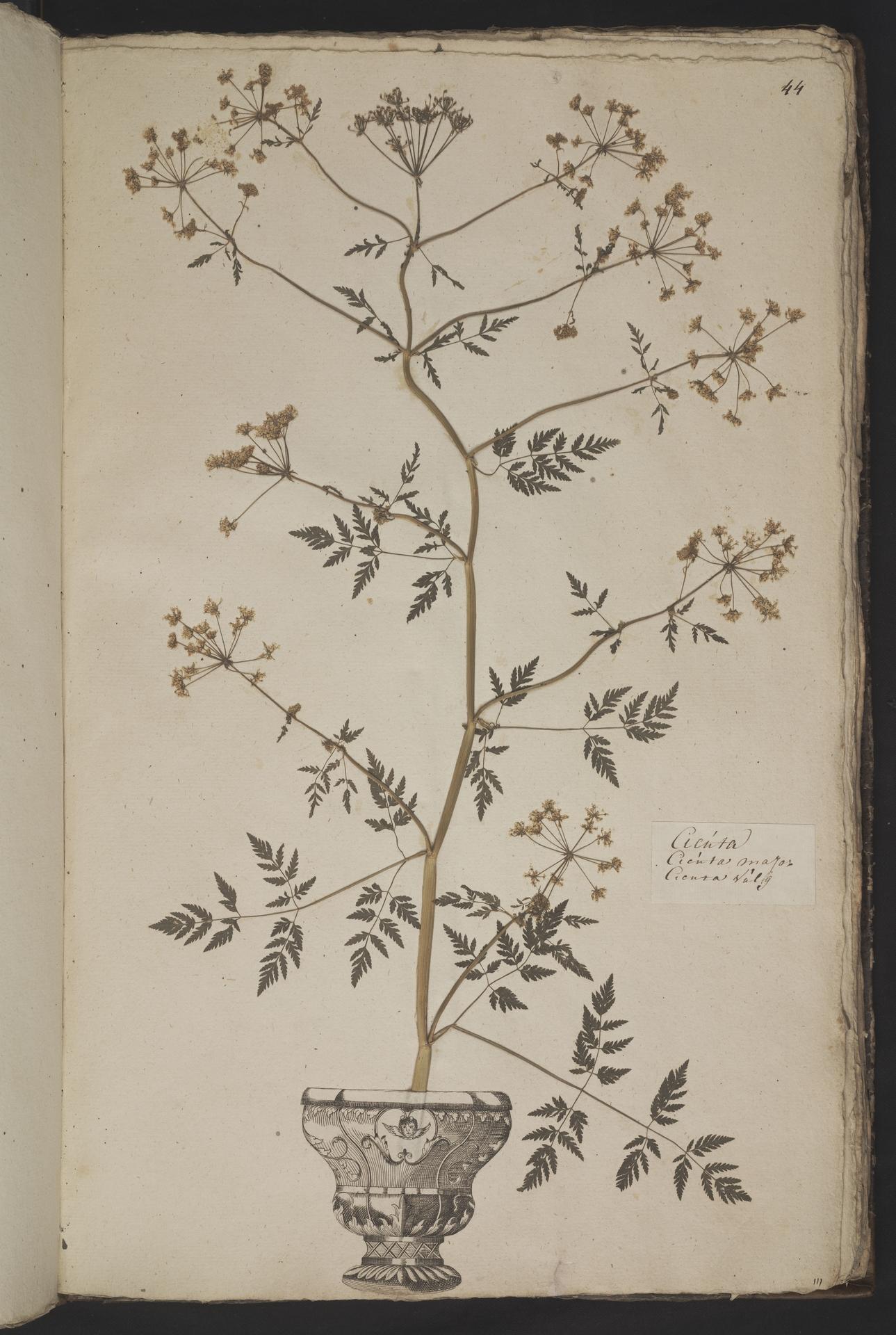L.3961042 | Conium maculatum L.