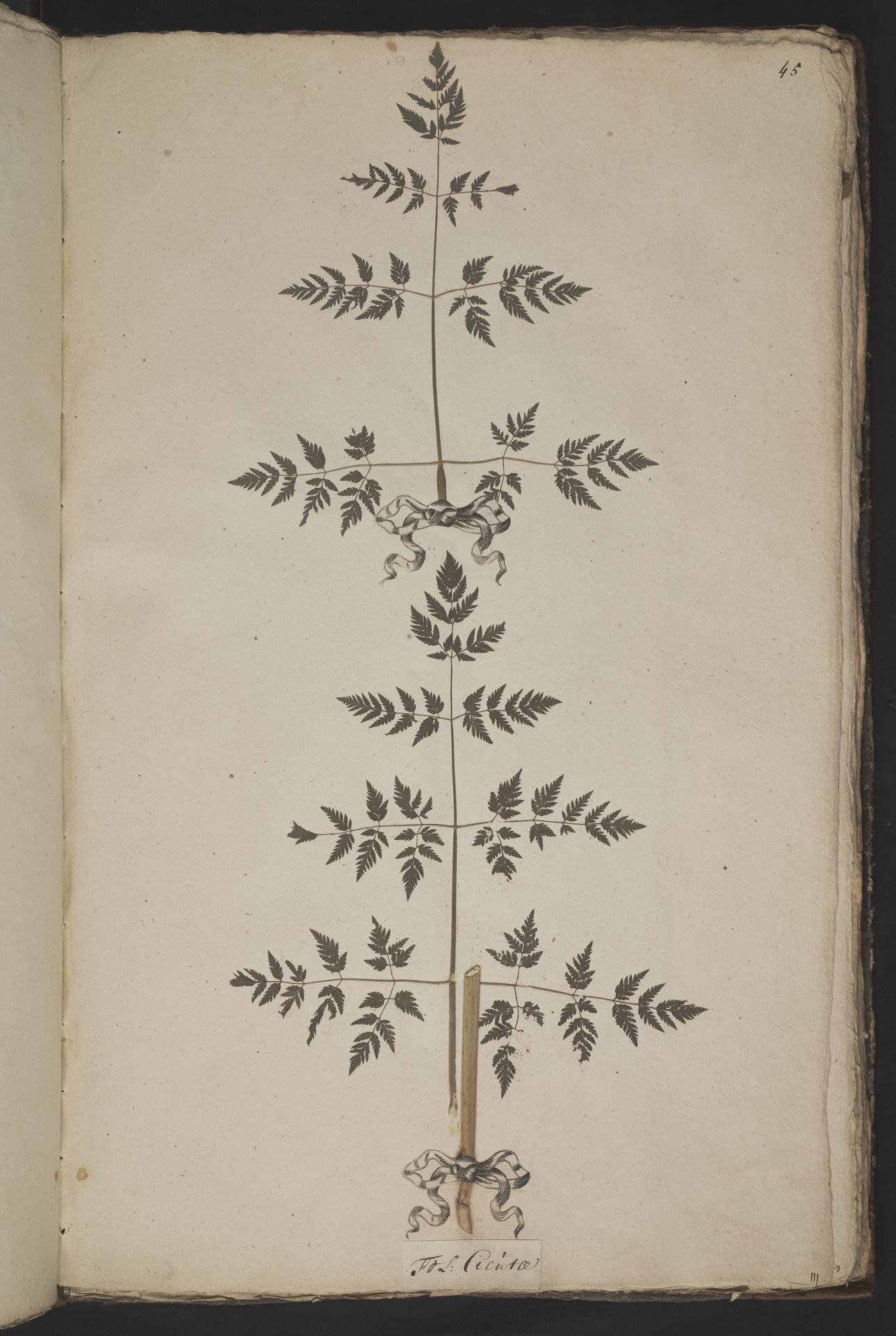 L.3961043 | Conium maculatum L.