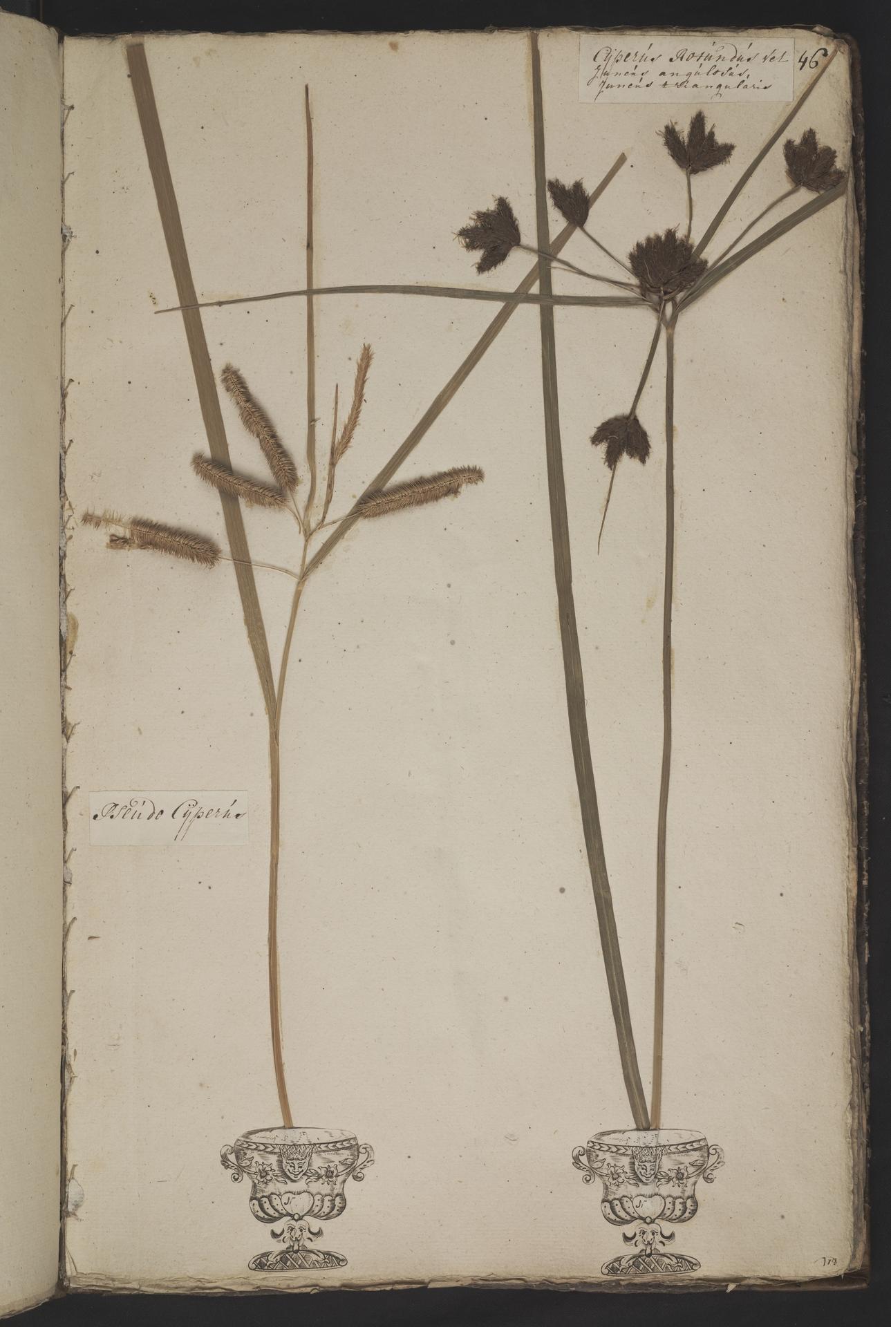 L.3961045 | Bolboschoenus maritimus (L.) Palla