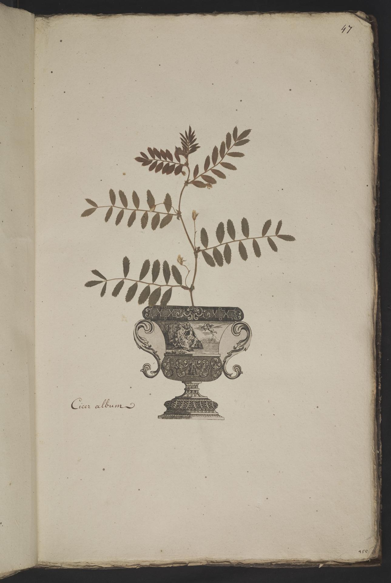 L.3961046 | Cicer arietinum L.