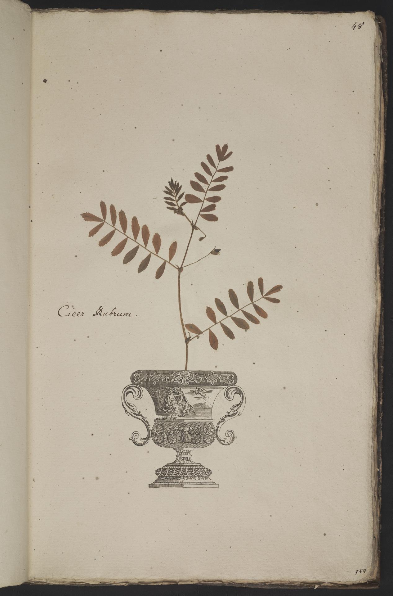 L.3961047 | Cicer arietinum L.