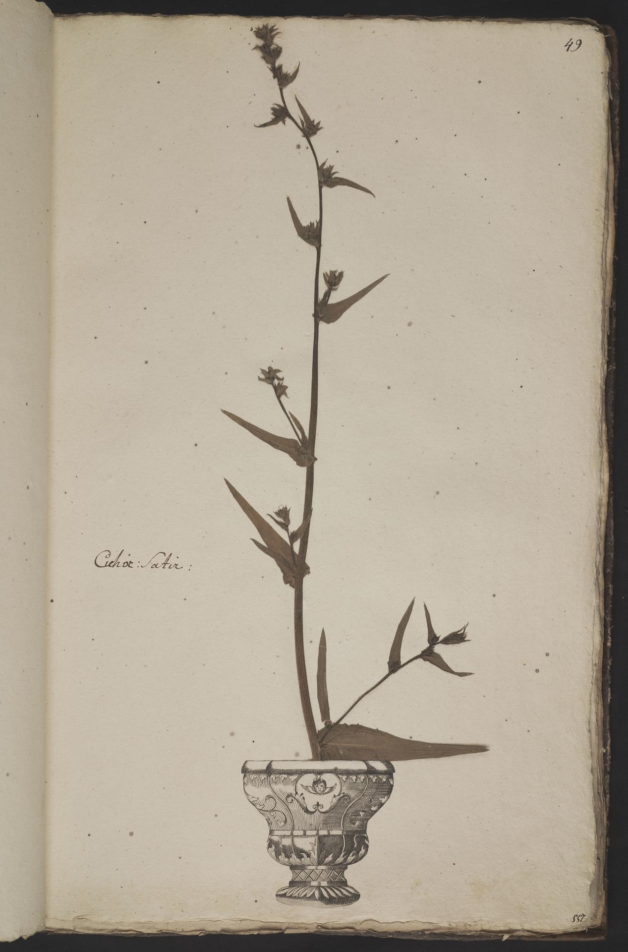 L.3961048 | Cichorium endivia L.