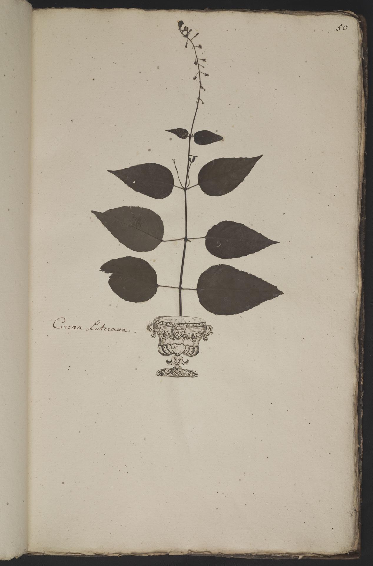 L.3961049 | Circaea lutetiana L.