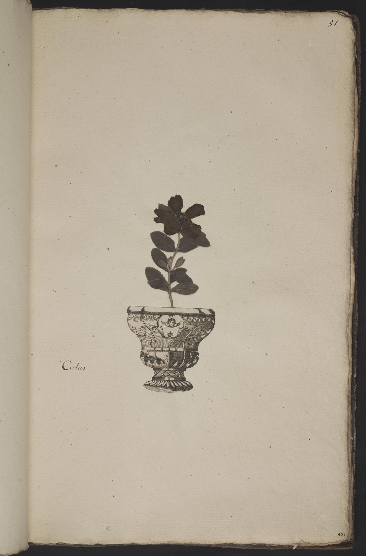 L.3961050 | Cistus albidus L.