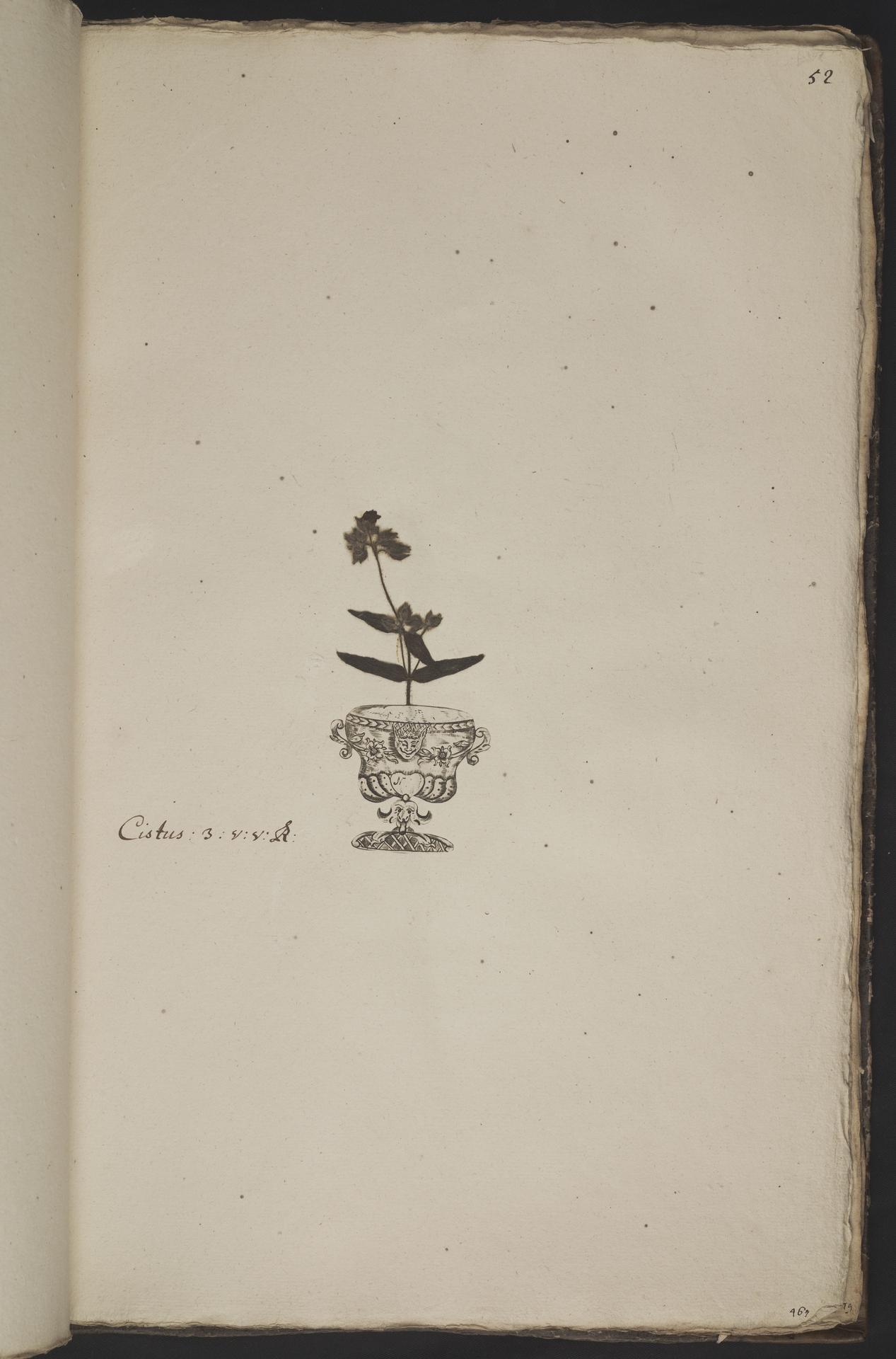 L.3961051 | Tuberaria macrosepala (Dunal) Willk.