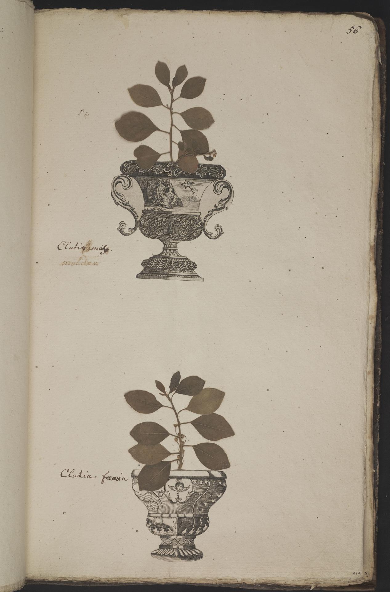 L.3961055 | Clutia pulchella L.