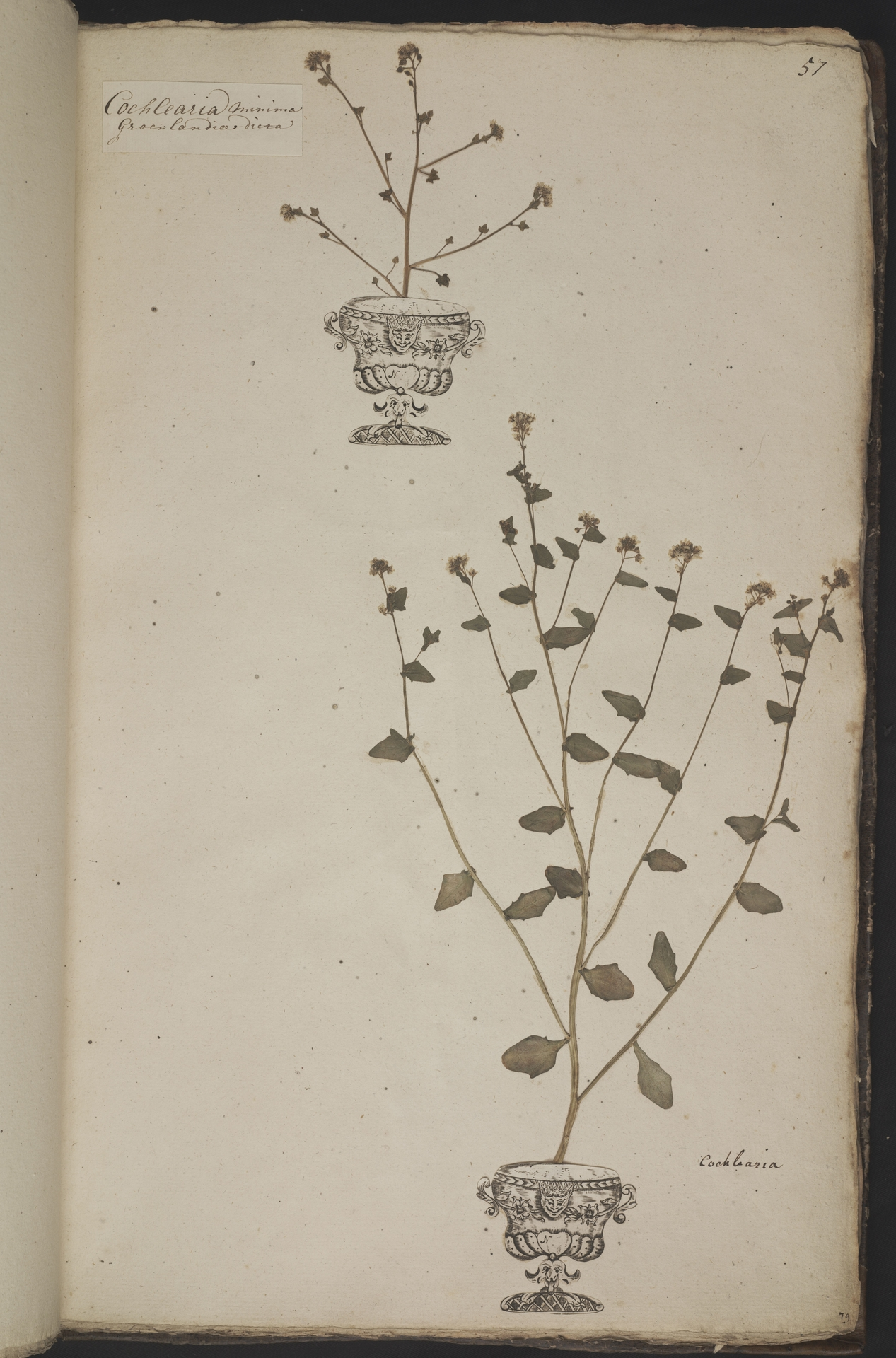 L.3961058 | Cochlearia anglica L.