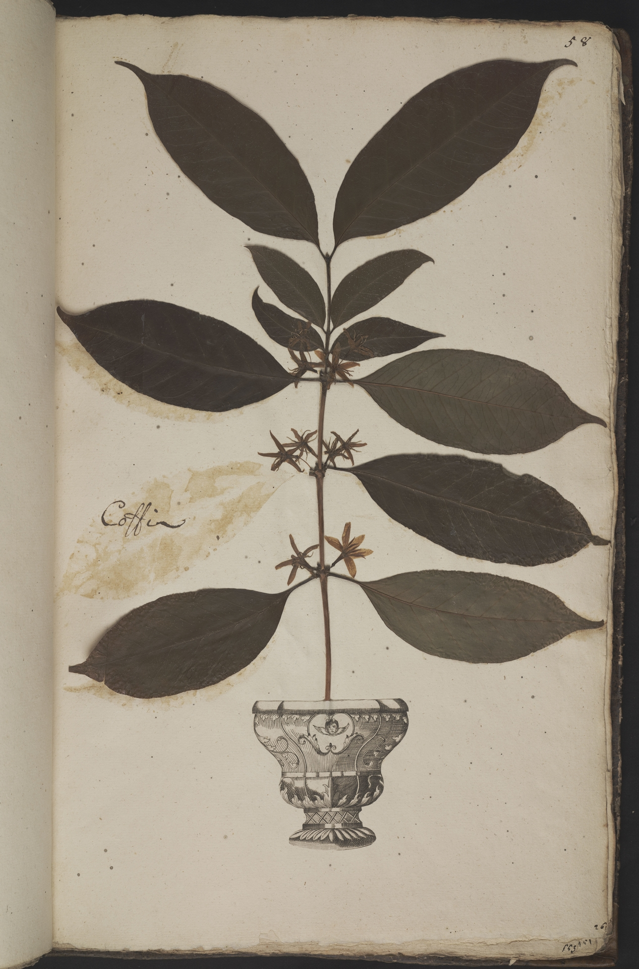 L.3961059 | Coffea arabica L.