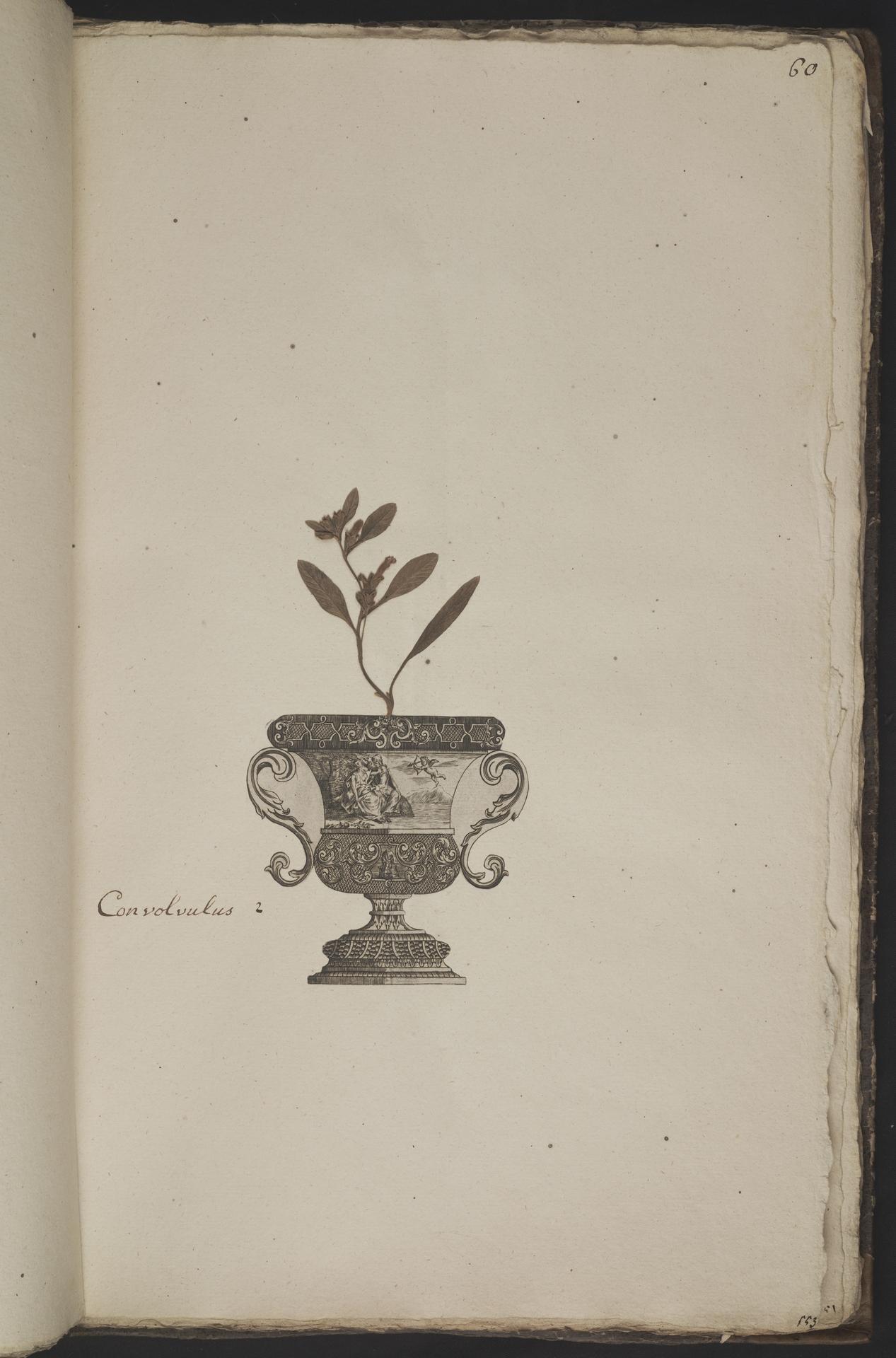 L.3961061 | Convolvulus lineatus L.
