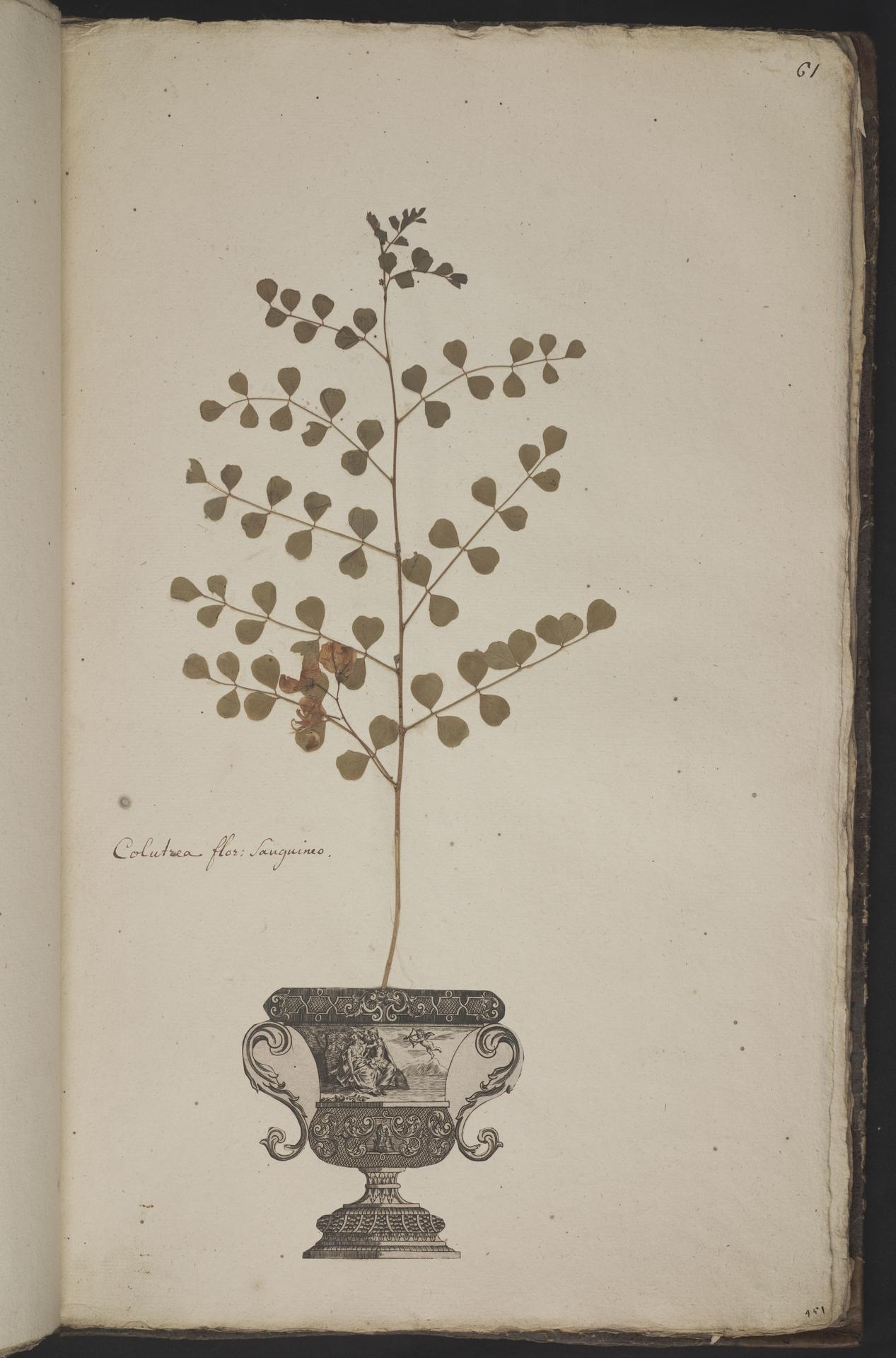 L.3961062 | Colutea orientalis Mill.