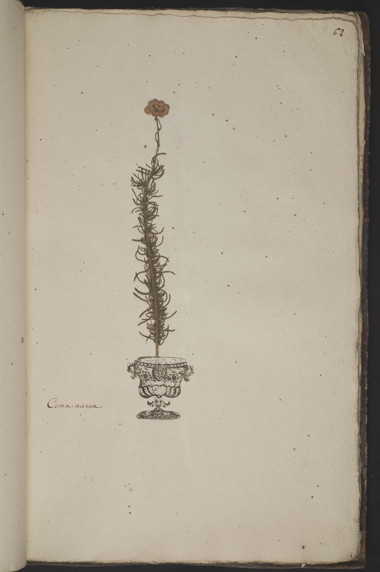 L.3961063 | Chrysocoma coma-aurea L.