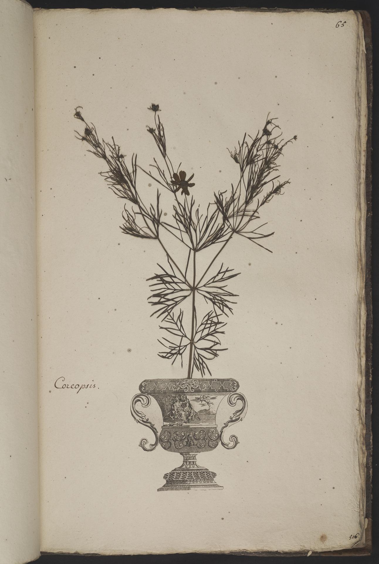 L.3961066 | Coreopsis verticillata L.