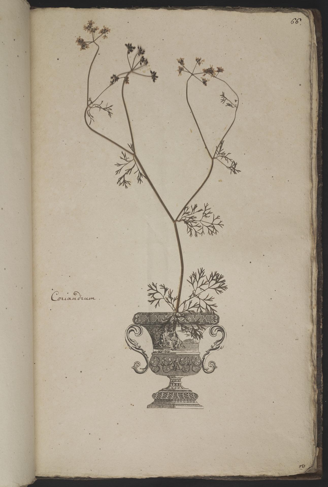 L.3961067 | Coriandrum sativum L.