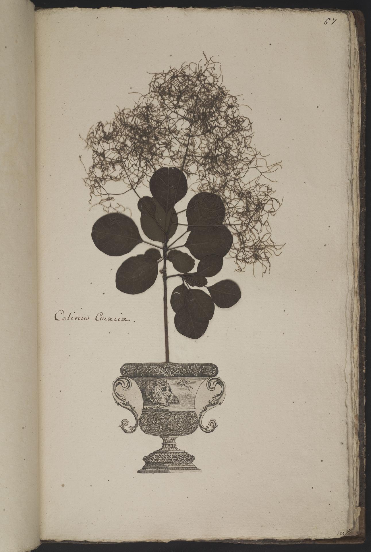 L.3961068 | Cotinus coggygria Scop.