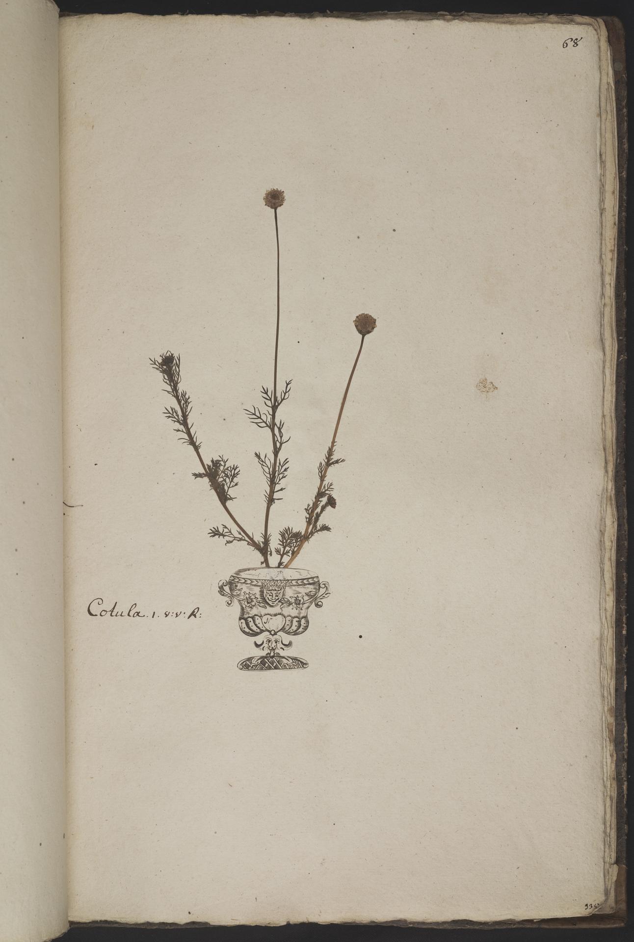 L.3961069 | Cotula turbinata L.