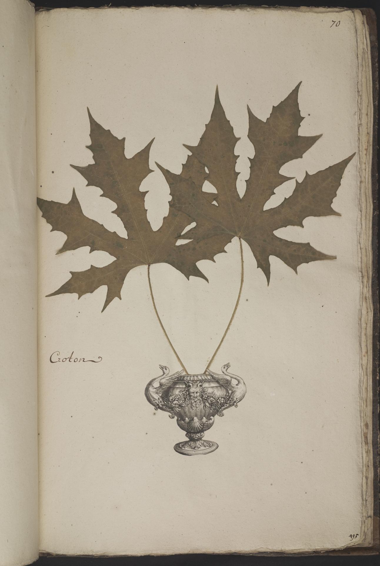 L.3961073 | Cnidoscolus aconitifolius (Mill.) I.M.Johnst.