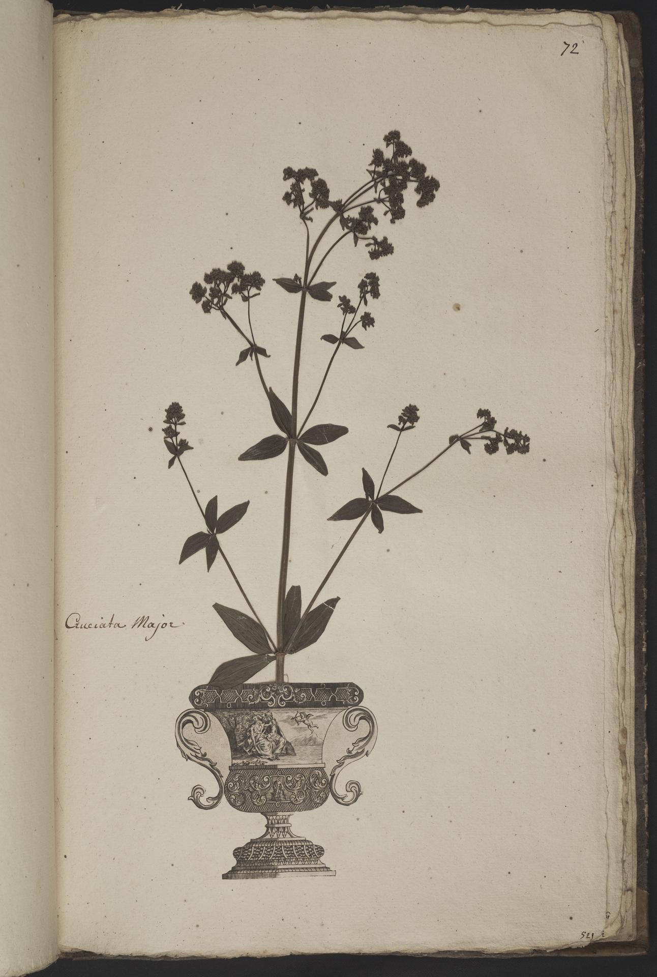 L.3961075 | Galium rubioides L.