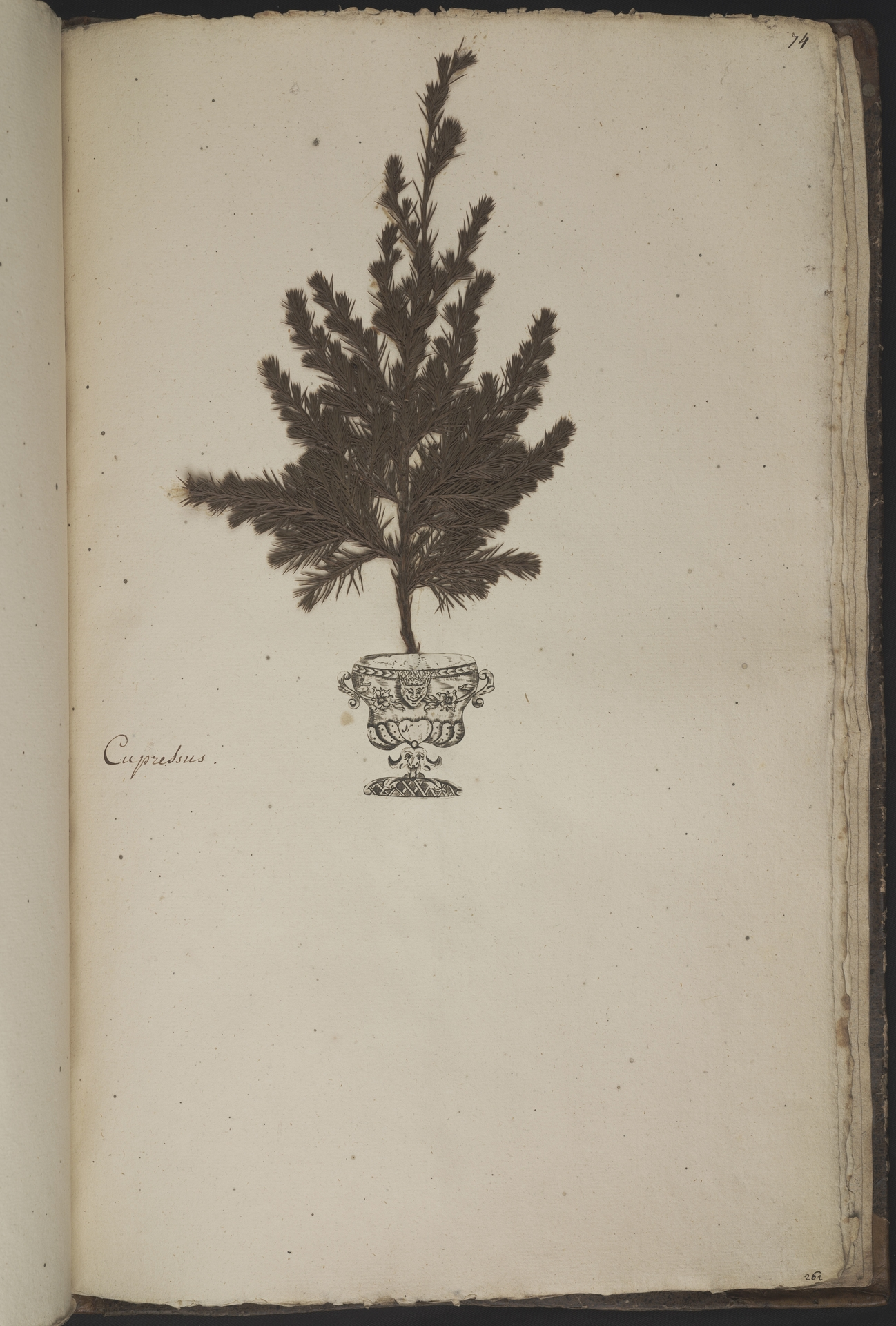 L.3961077 | Juniperus communis L.