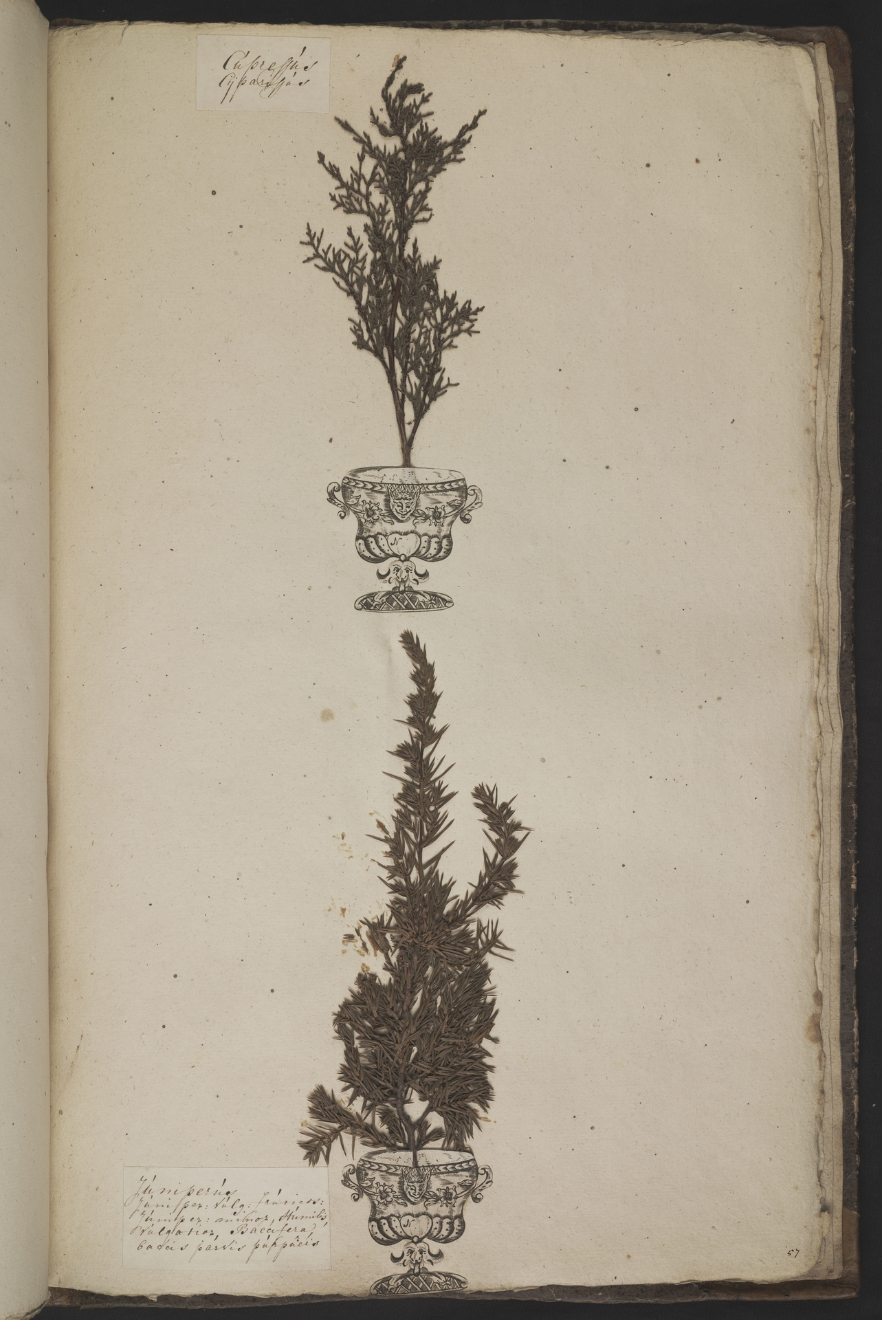 L.3961078 | Cupressus sempervirens L.