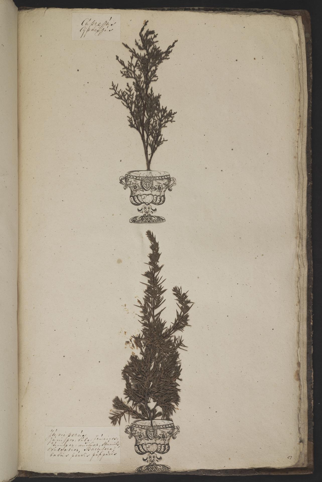L.3961079 | Juniperus communis L.