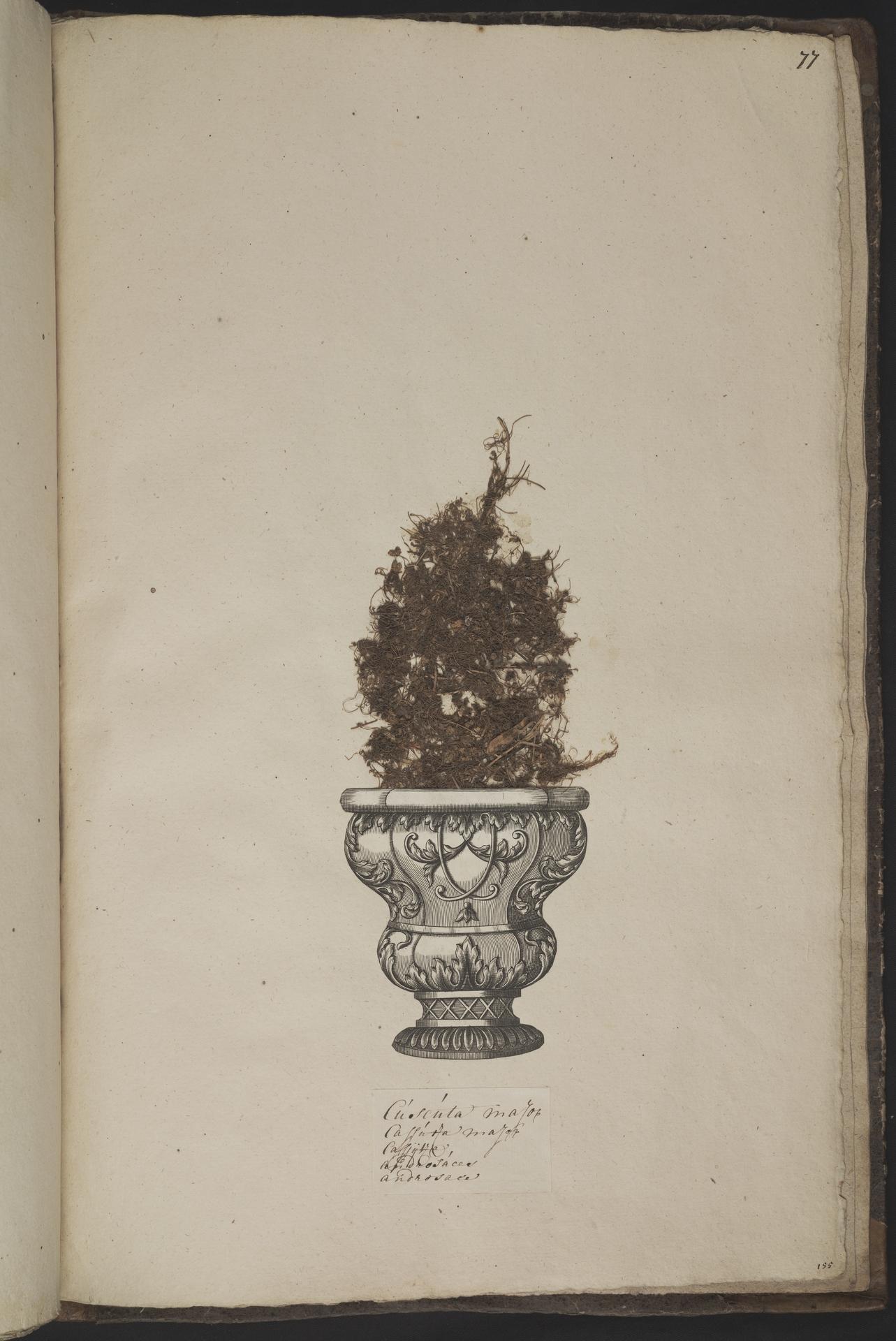 L.3961082 | Cuscuta epilinum Weihe