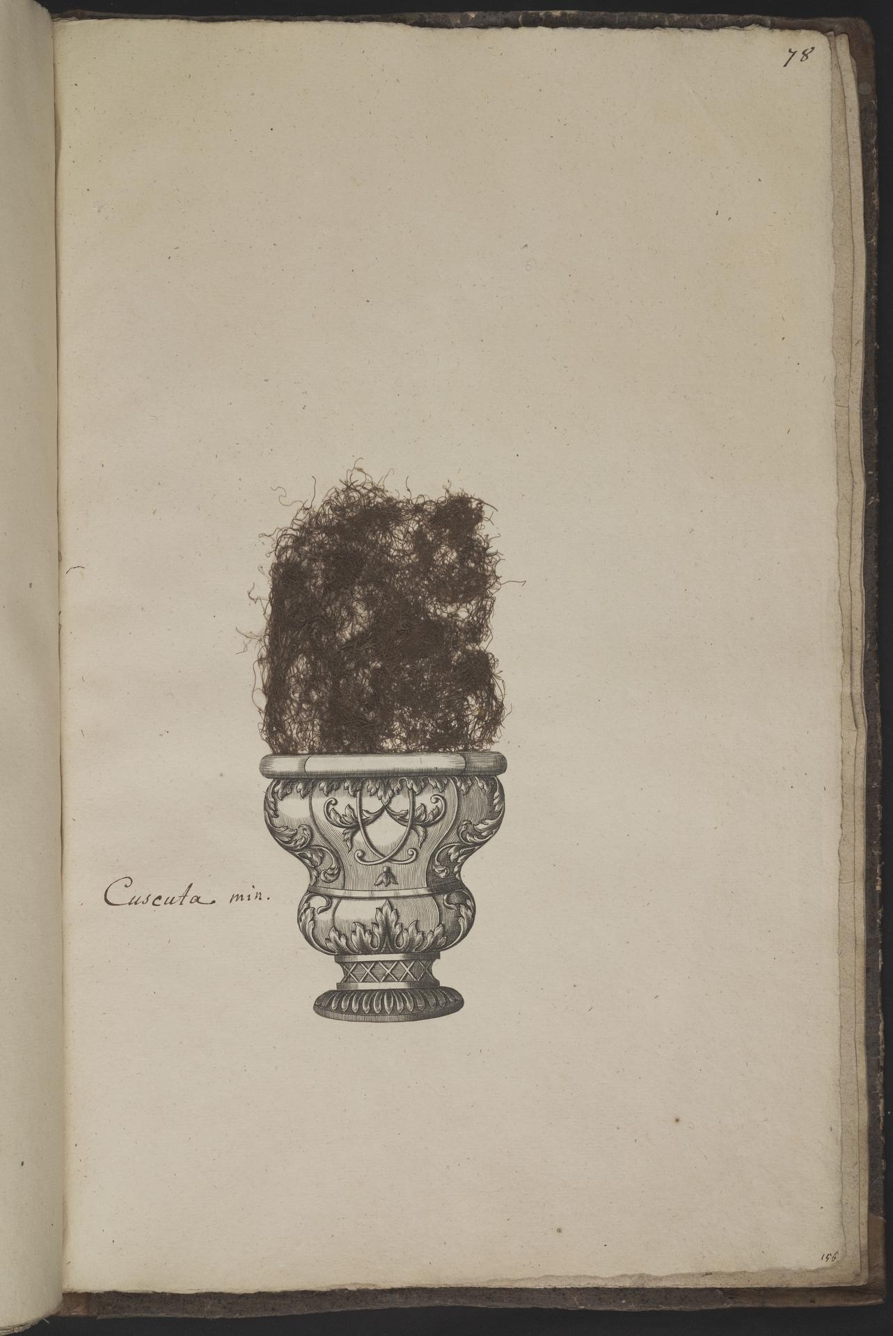 L.3961083 | Cuscuta epithymum (L.) L.