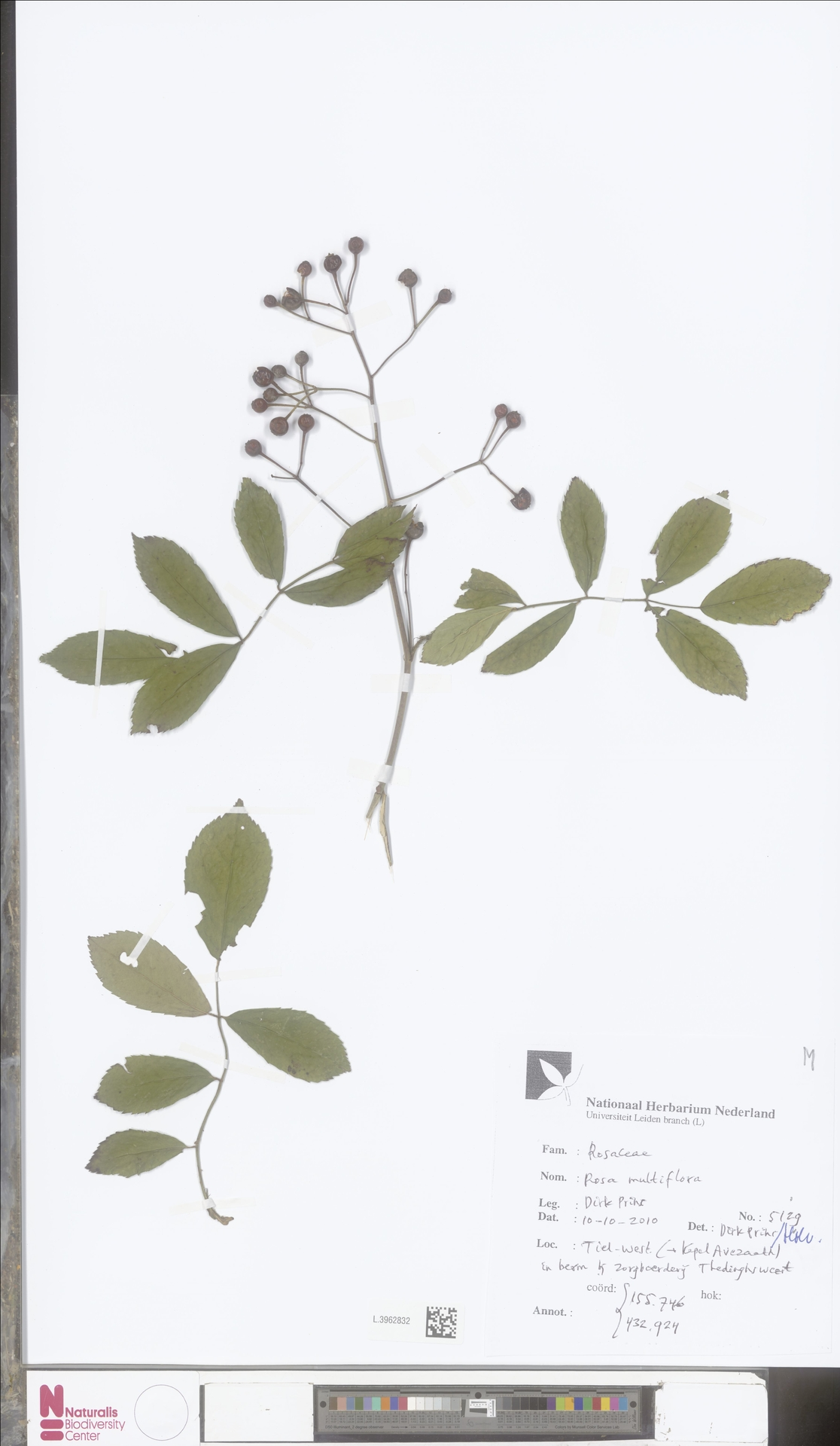 L.3962832 | Rosa multiflora Thunb.