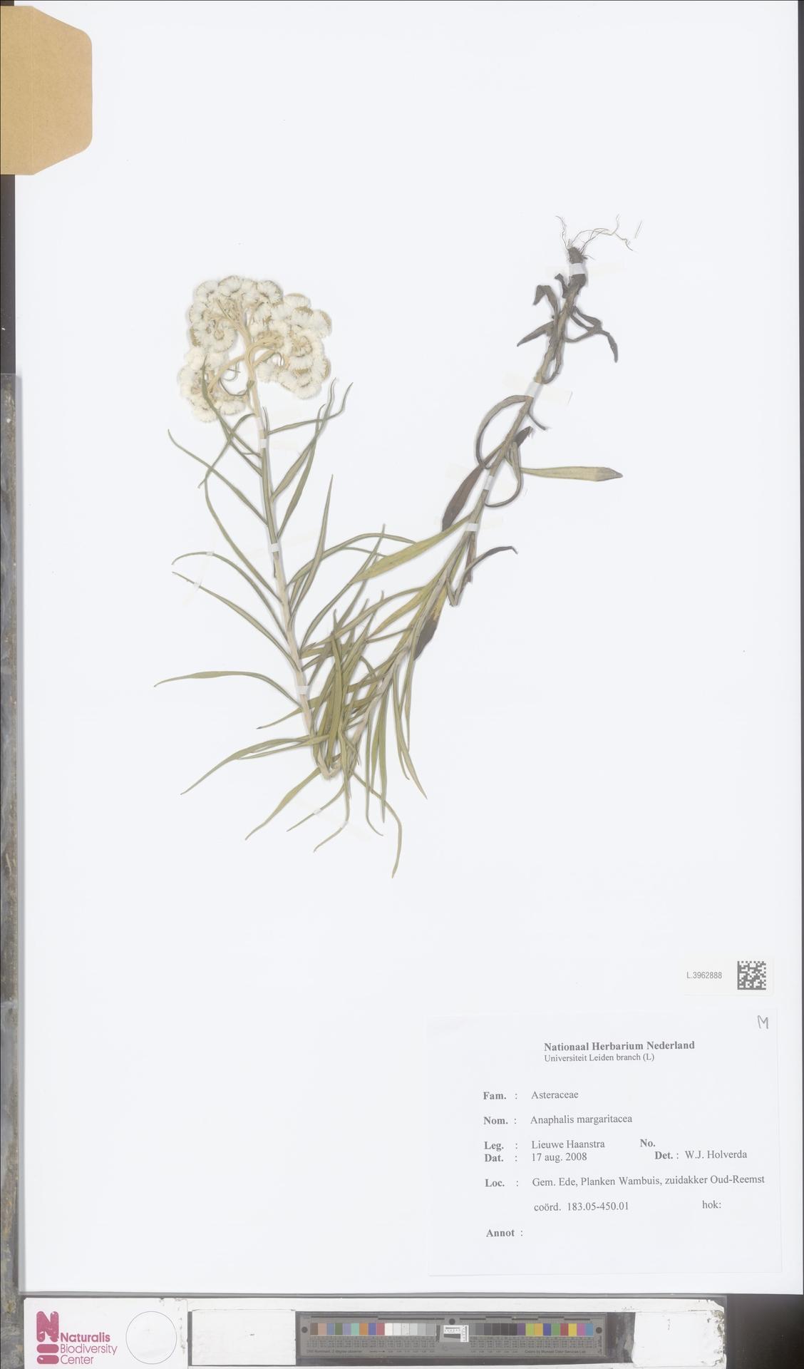 L.3962888   Anaphalis margaritacea (L.) Benth. & Hook.f.