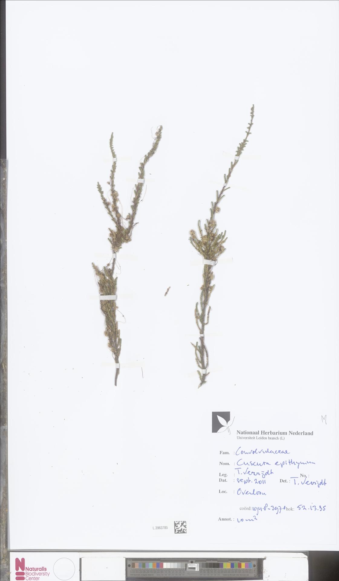 L.3963785   Cuscuta epithymum (L.) L.