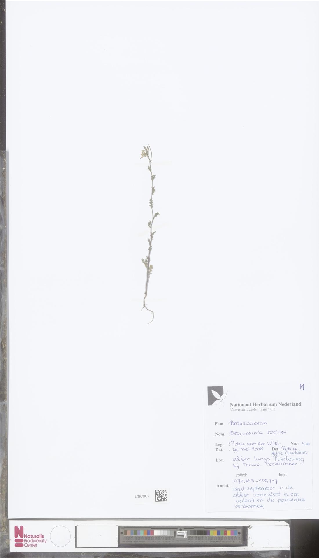 L.3963805 | Descurainia sophia (L.) Webb ex Prantl