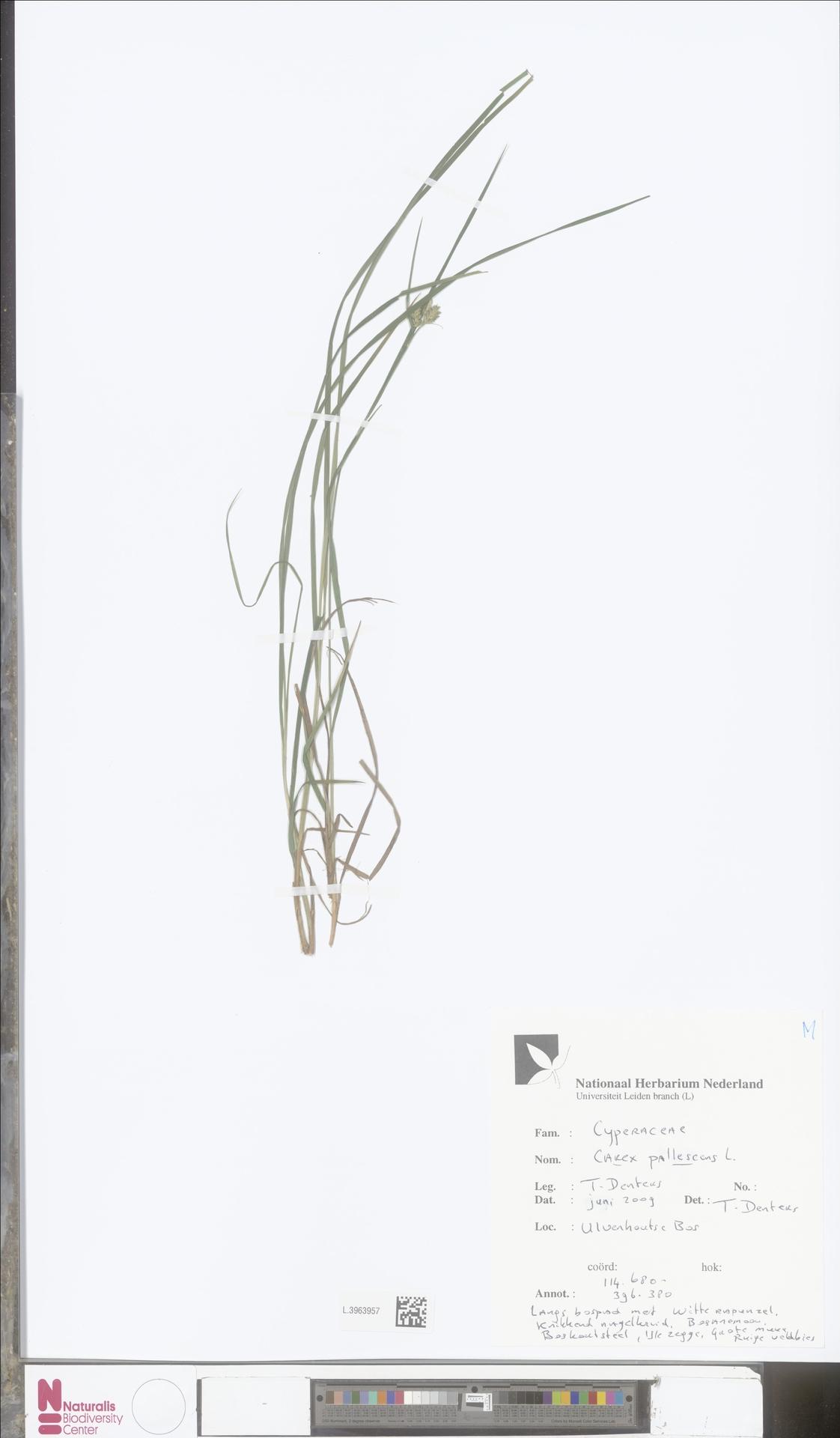 L.3963957   Carex pallescens L.