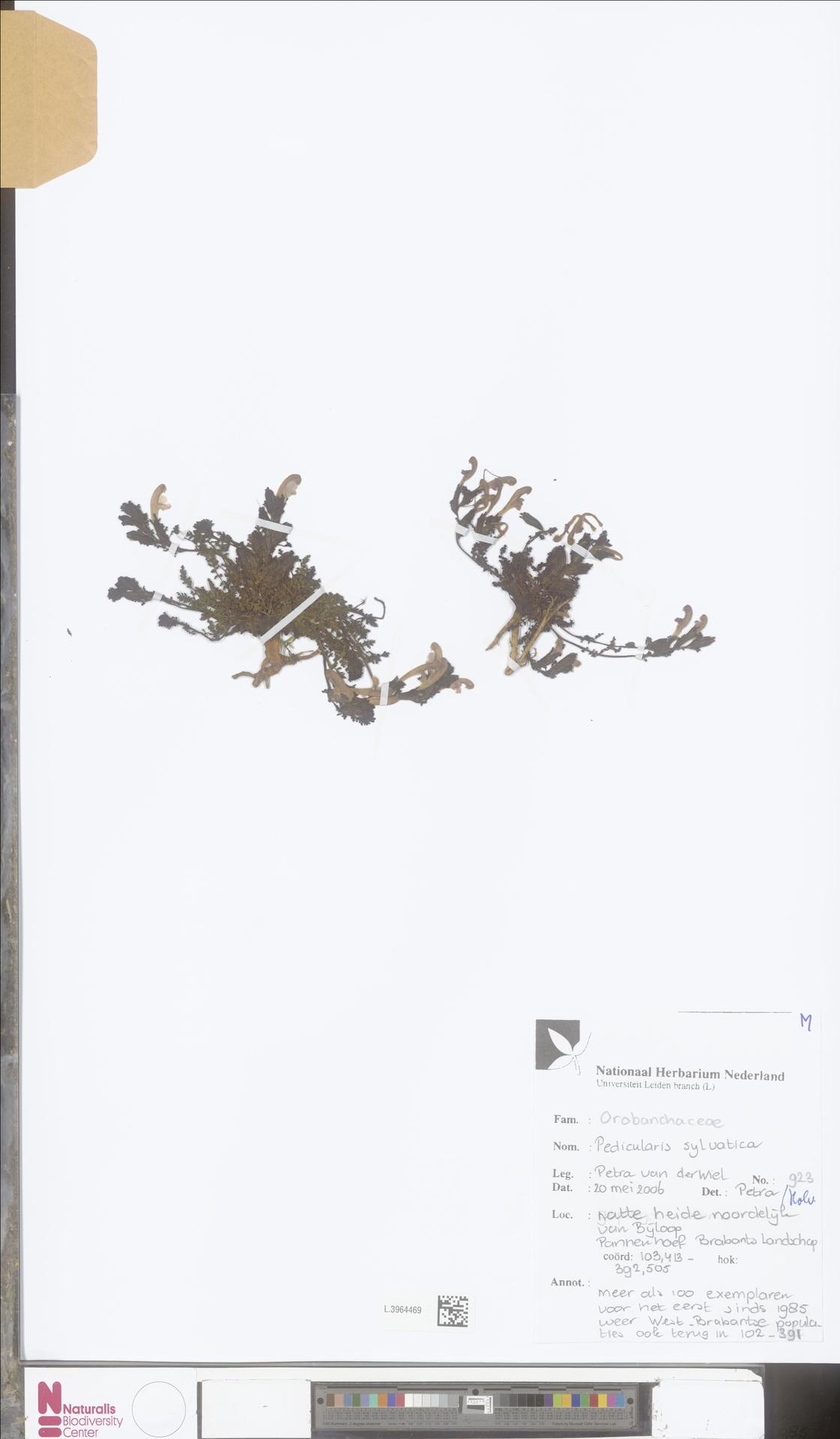 L.3964469 | Pedicularis sylvatica L.