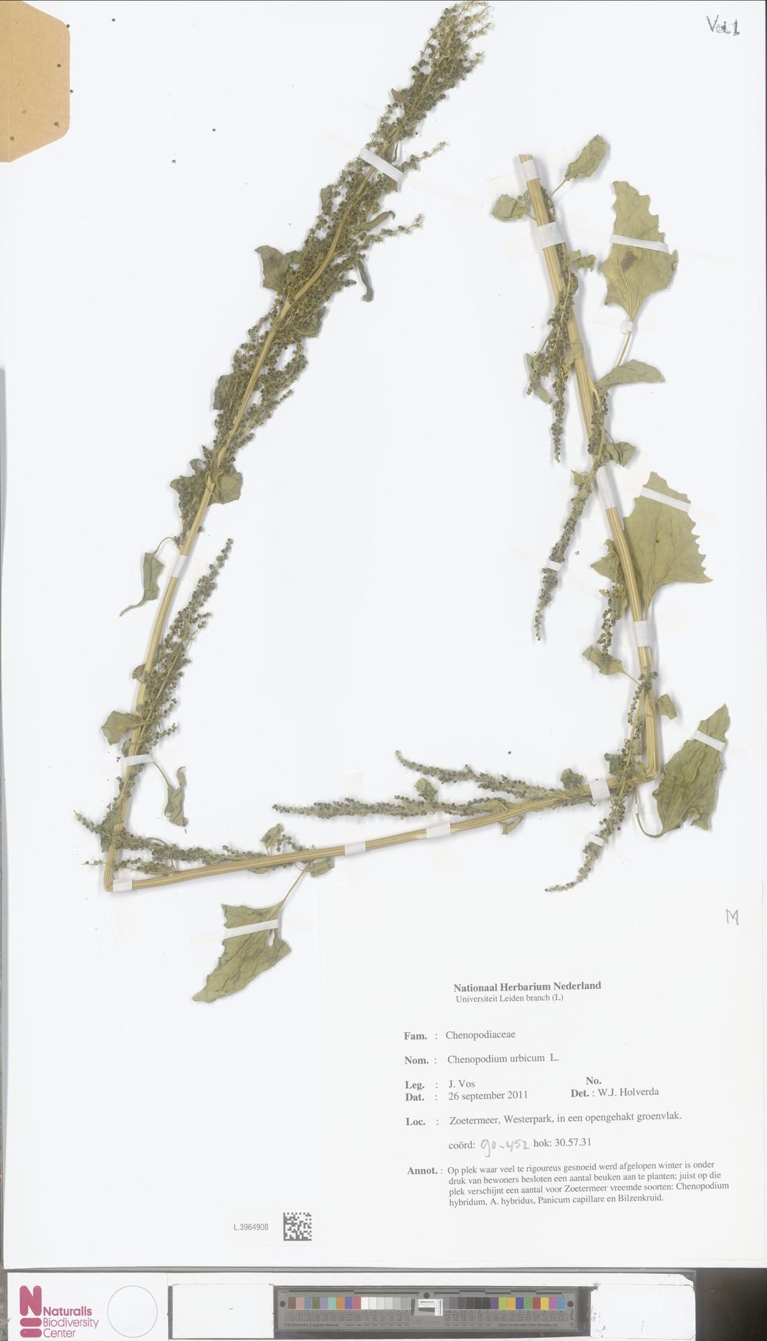 L.3964908 | Chenopodium urbicum L.