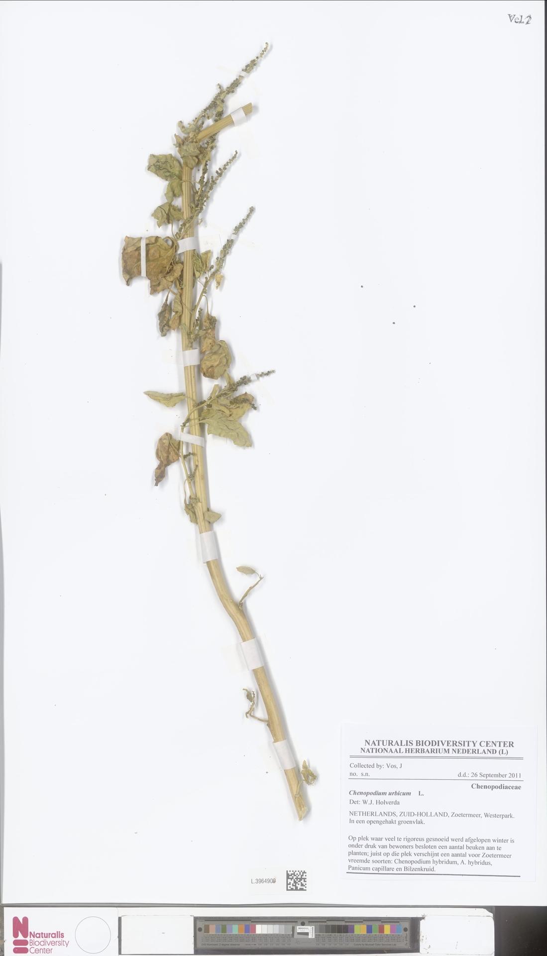 L.3964909 | Chenopodium urbicum L.