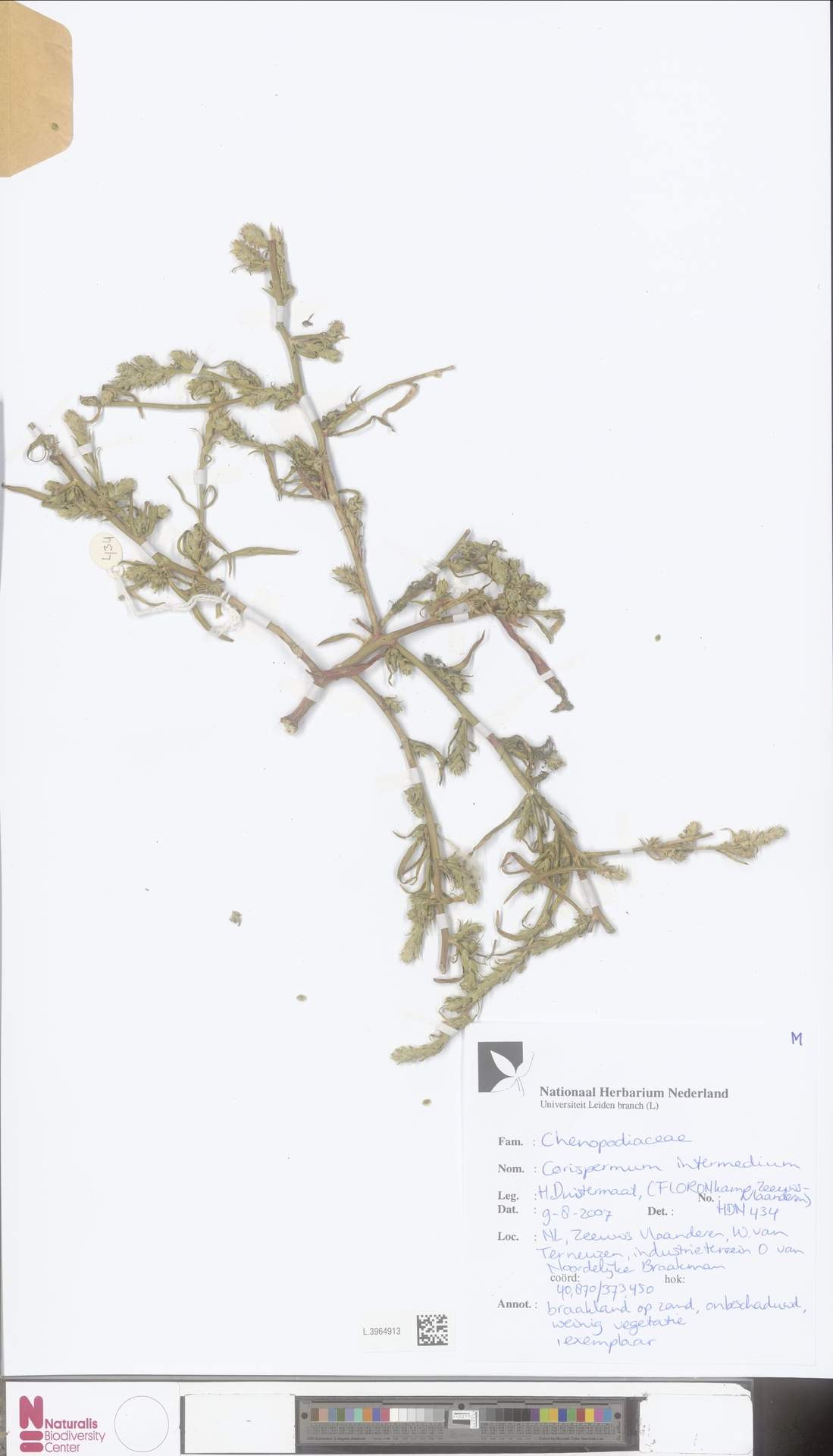 L.3964913 | Corispermum intermedium Schweigg.