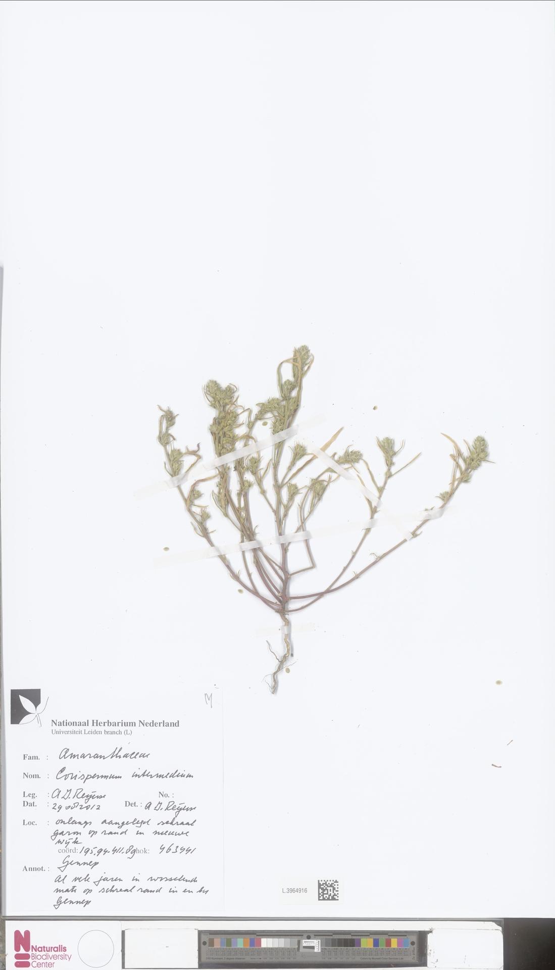 L.3964916 | Corispermum intermedium Schweigg.