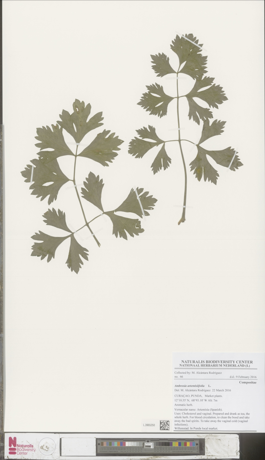 L.3965250 | Ambrosia artemisiifolia L.