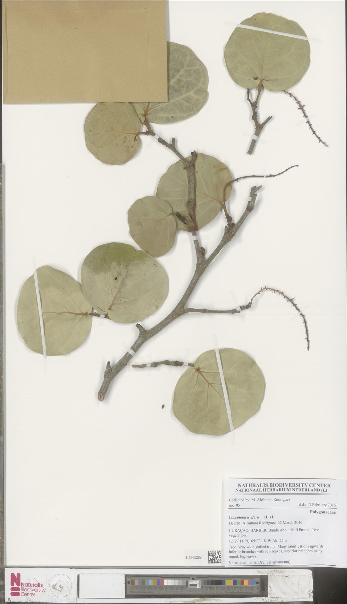 L.3965288 | Coccoloba uvifera (L.) L.