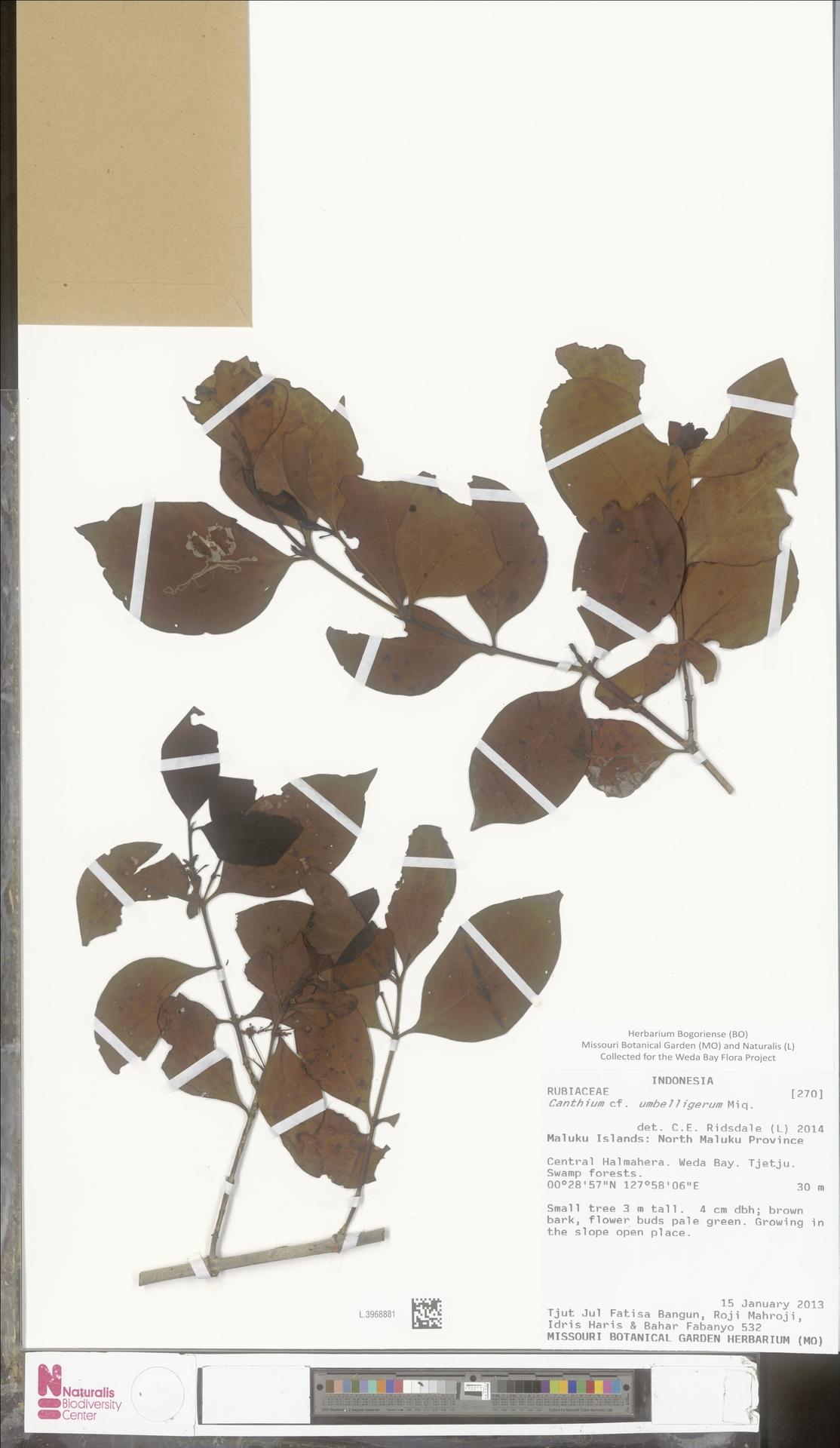 L.3968881 | Canthium umbelligerum Miq.