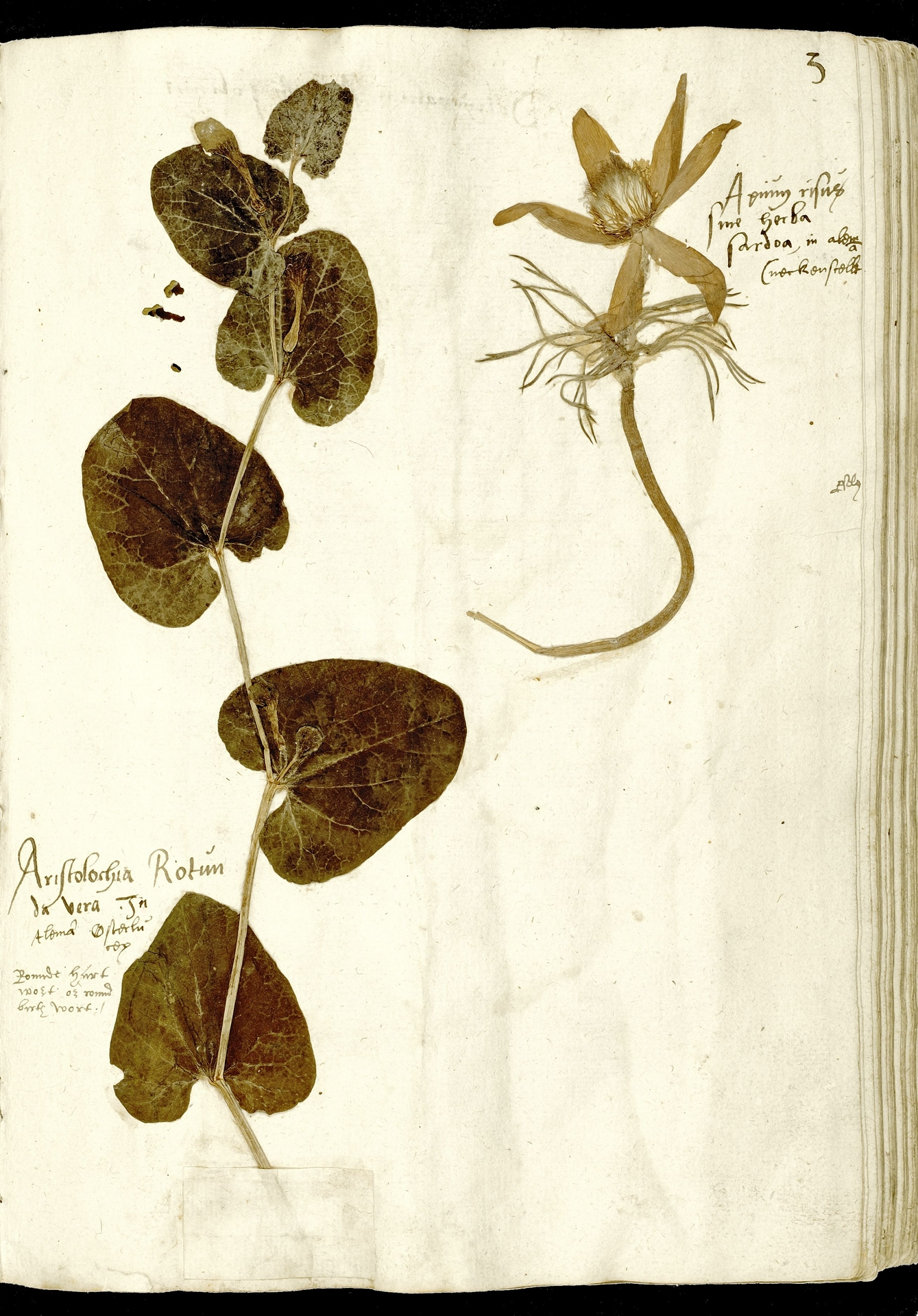 L.3970538 | Aristolochia rotunda L.