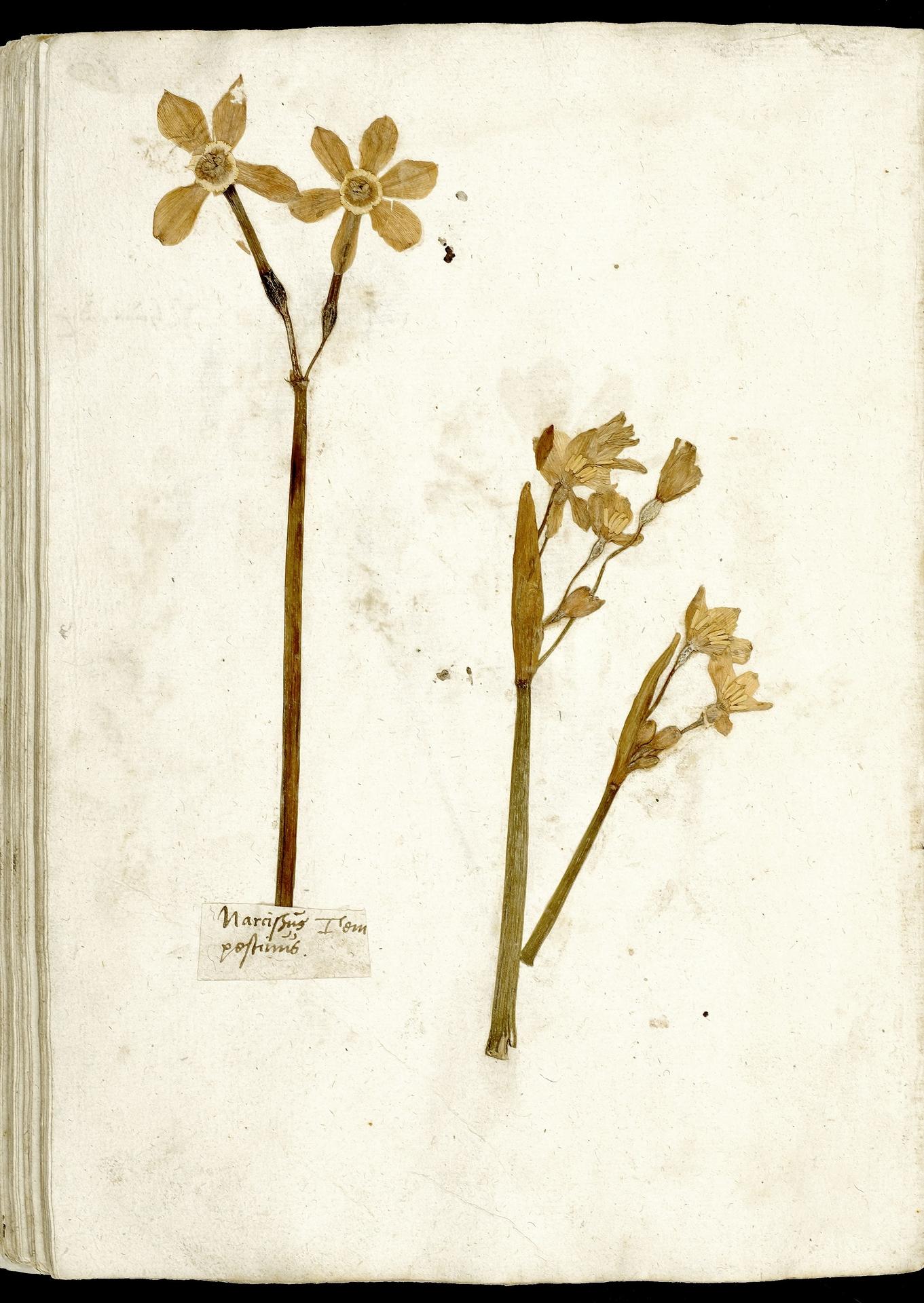 L.3970624 | Narcissus poeticus L.