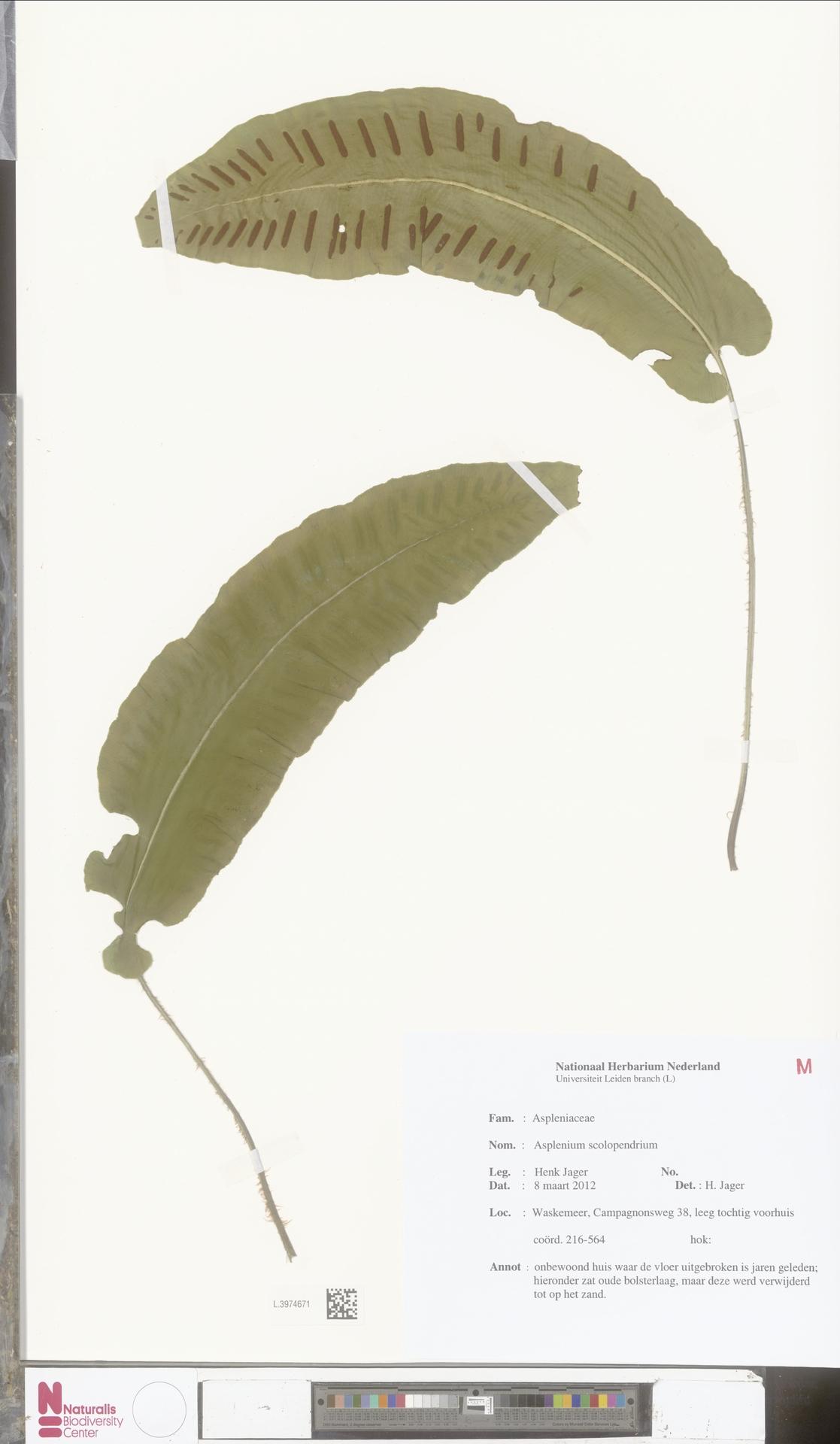 L.3974671 | Asplenium scolopendrium L.